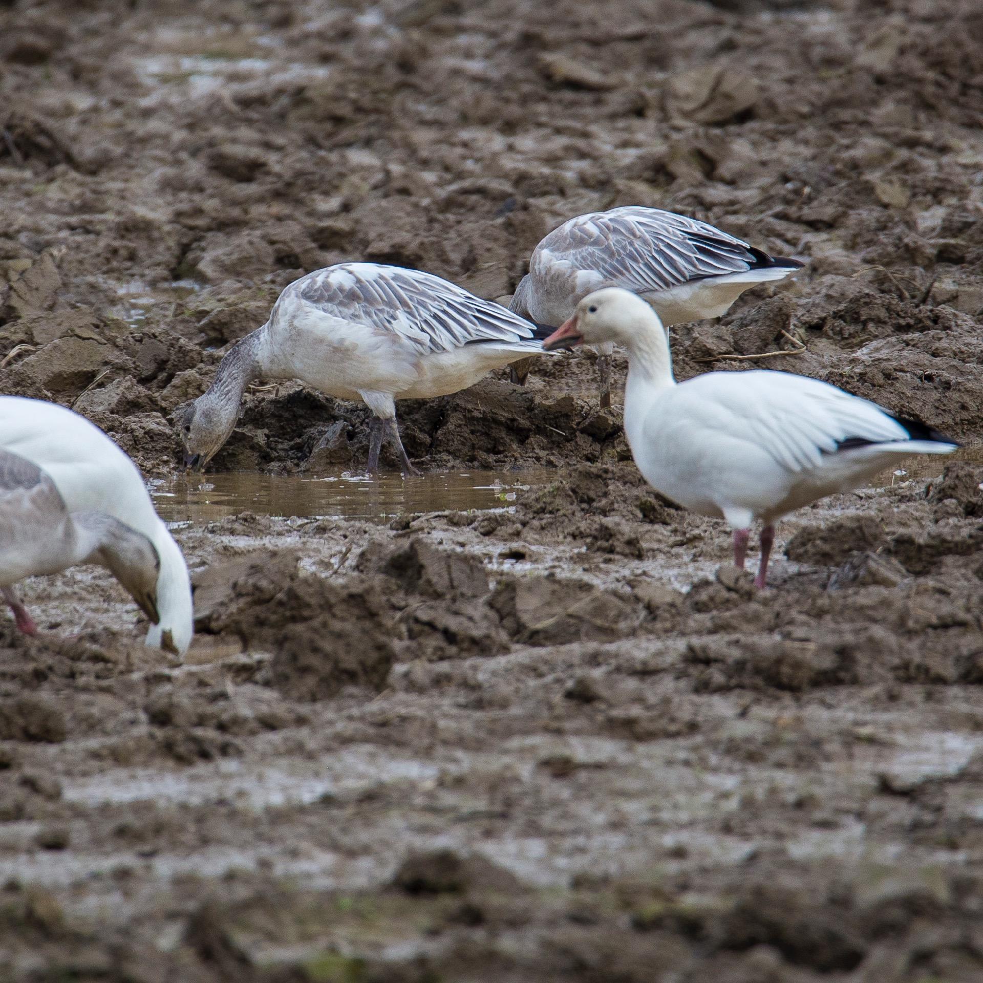 Refeil Snow Geese - 2.jpg