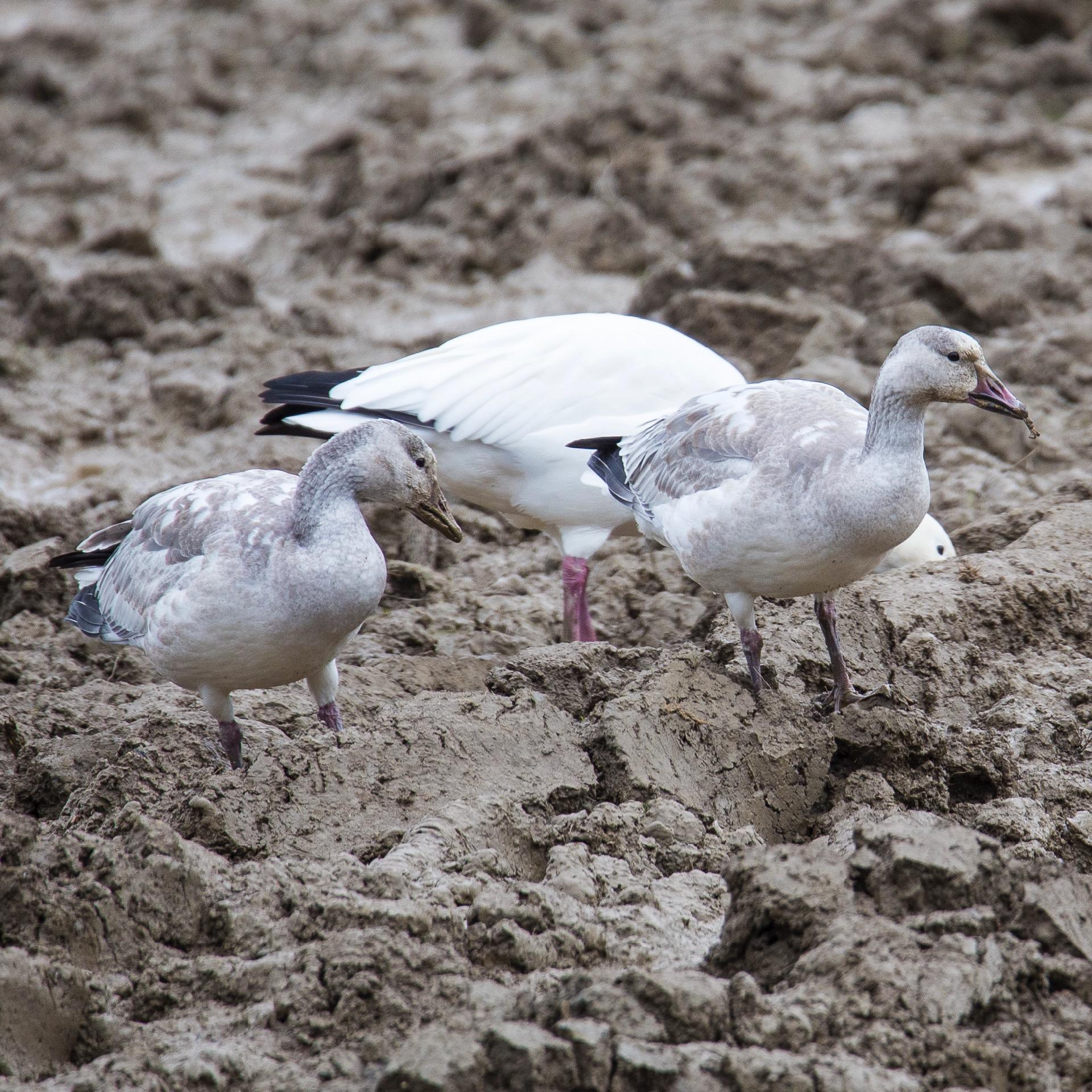 Refeil Snow Geese - 7.jpg