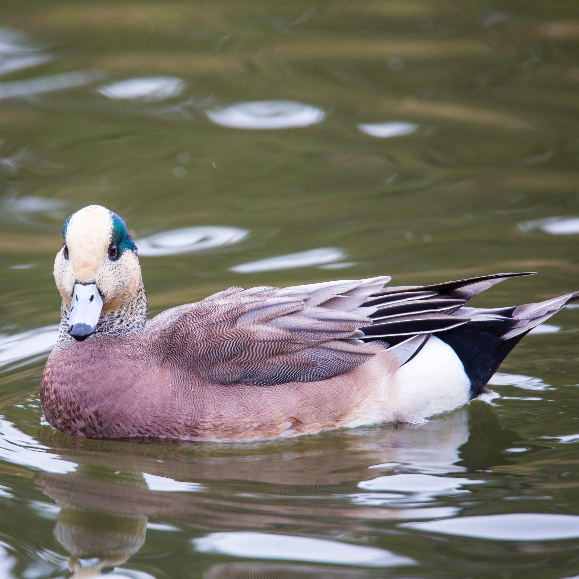 Refeil Snow Geese - 17.jpg