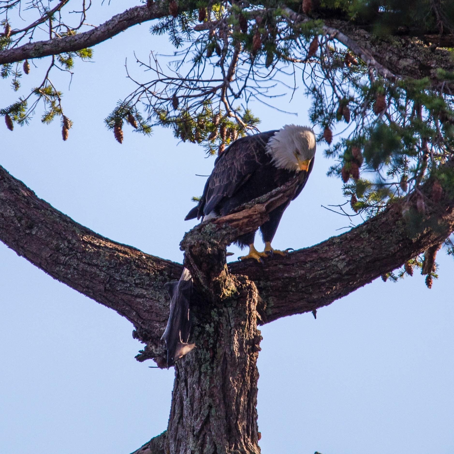 Bald eagle with a fish - a pretty big one!