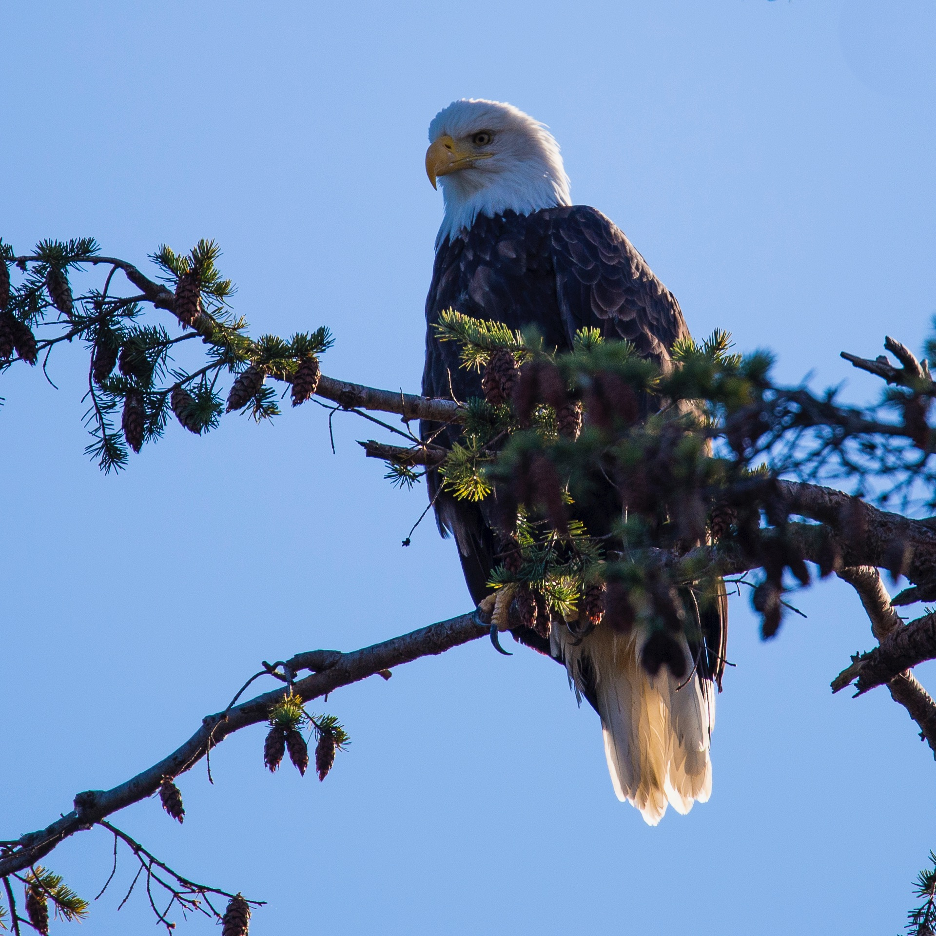 A bald eagle sitting up in the tree. Might have been the same one from earlier in the morning with the fish.