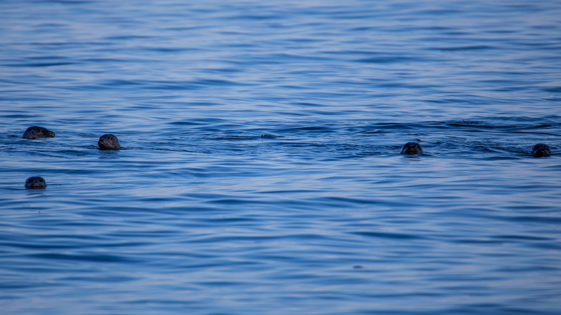 There were at least a dozen harbour seals, just floating a little ways off the beach.