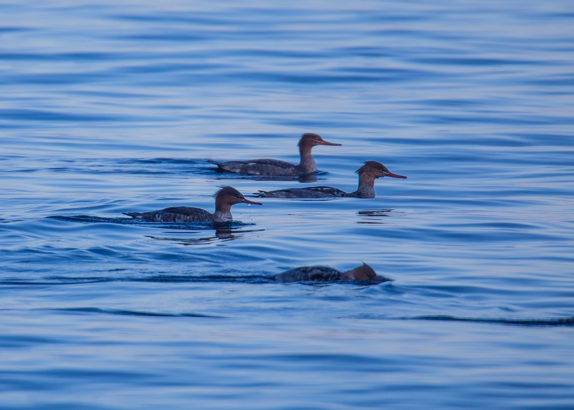 A small flock of Common Mergansers