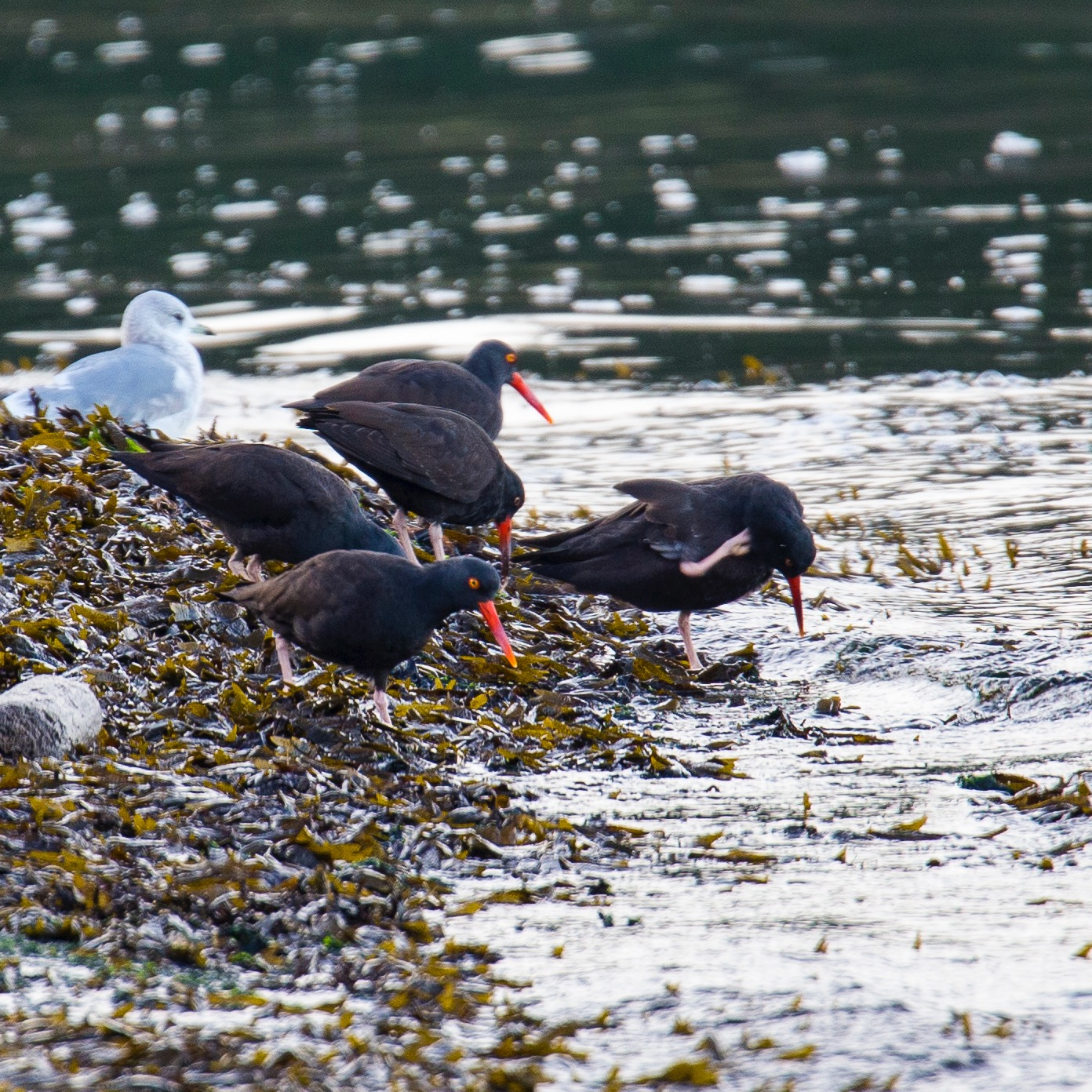 A small flock of oyster catchers flew in while we were on the beach.