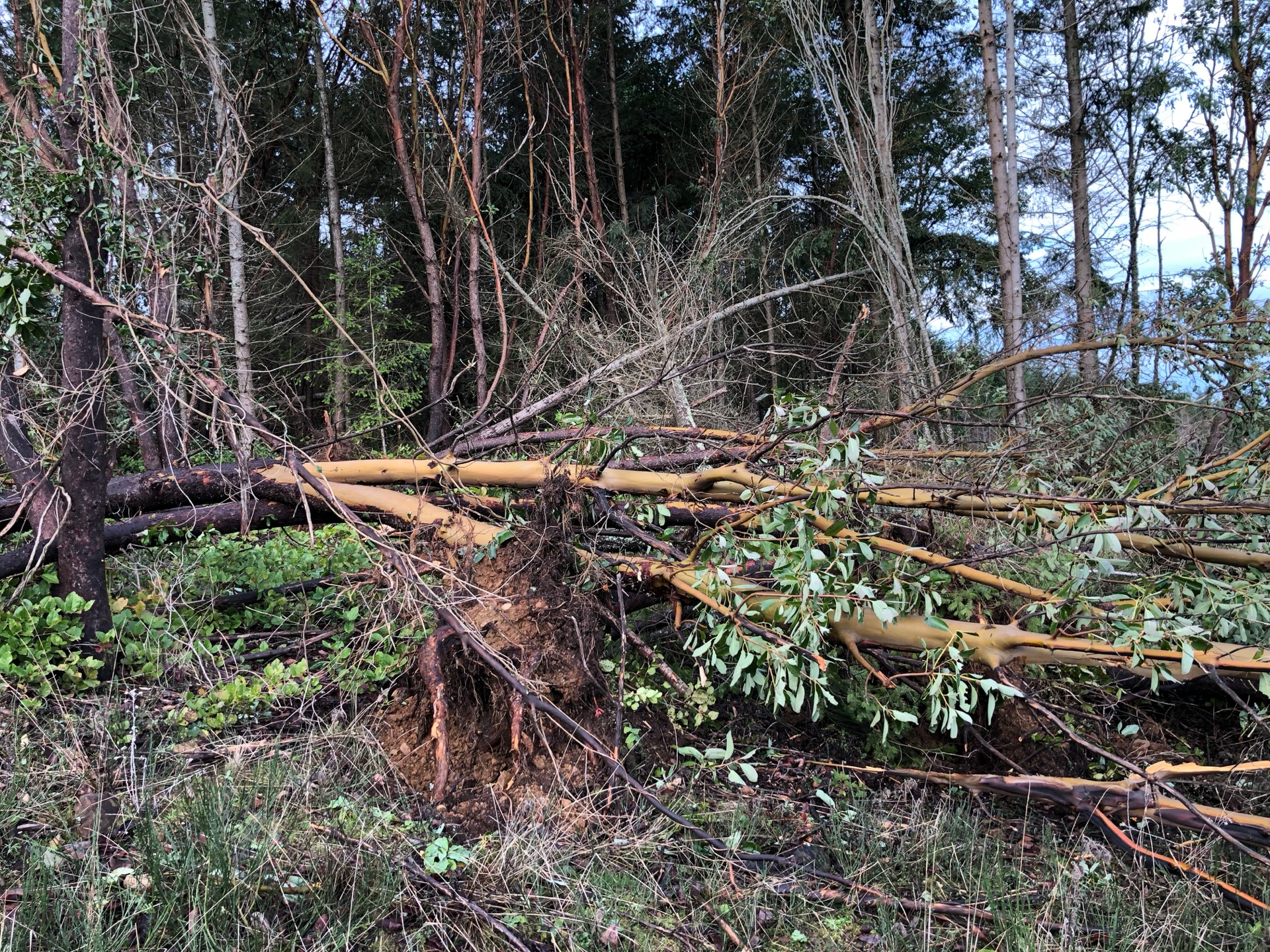 The damage along the property was worse - one of the big arbutus trees we lost.