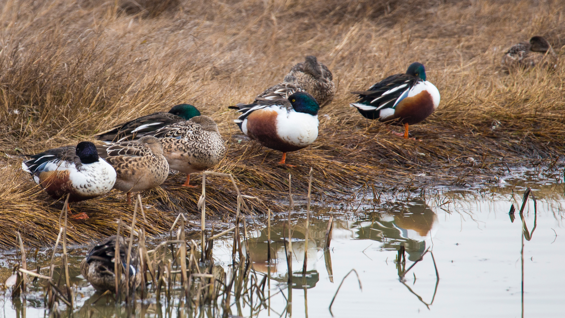 Part of the flock of northern shovelers.
