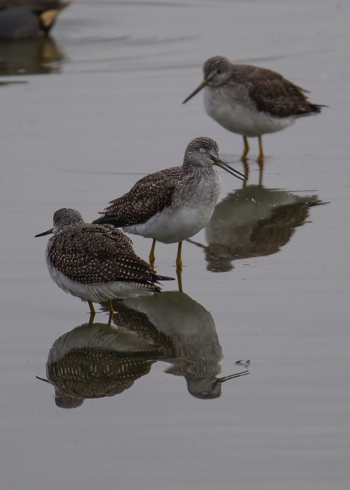 I think these are greater yellow legs, but I'm not 100% on that one.
