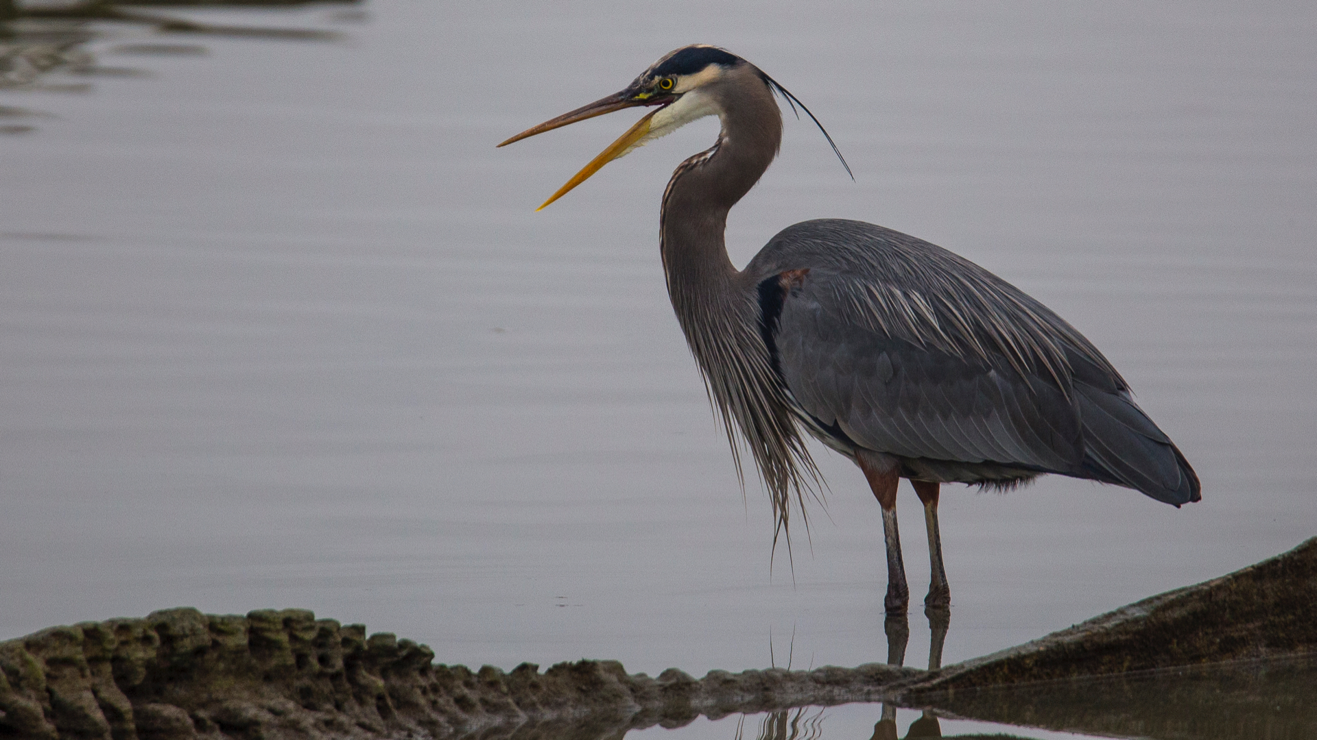 The great blue herons seemed to be having some luck fishing.