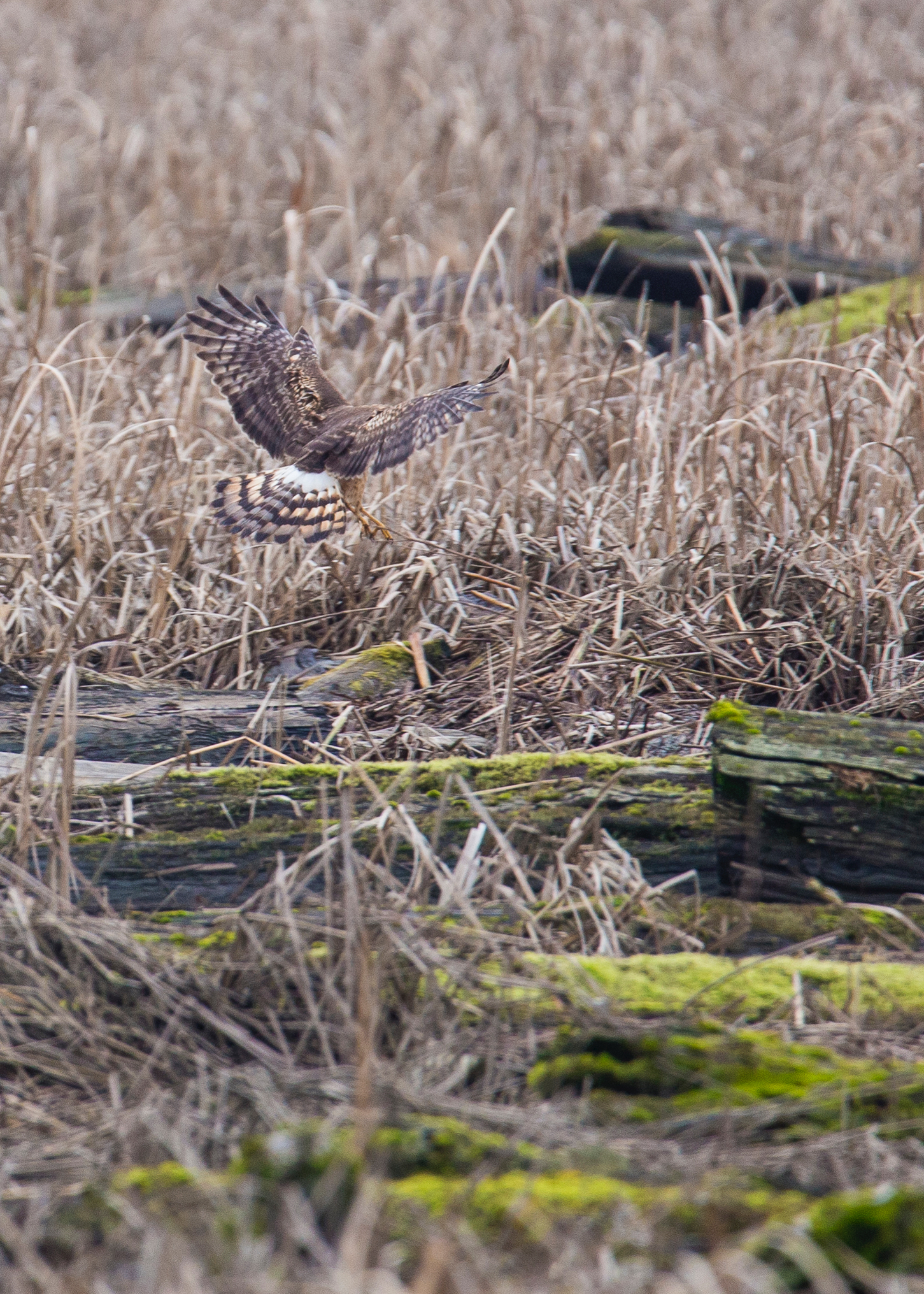 The northern harrier coming in for a landing.