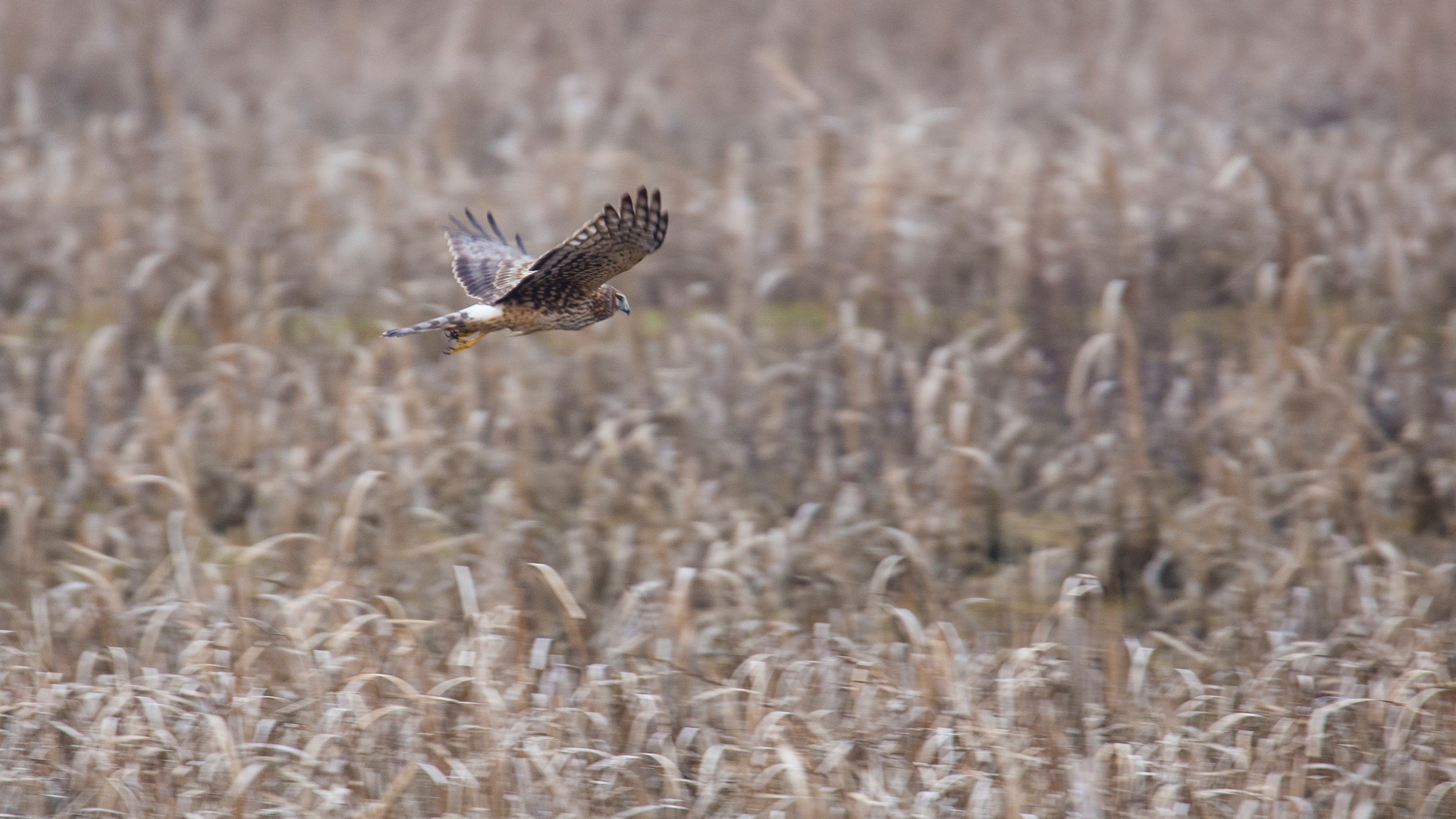 A separate female northern harrier, this one did seem to be in hunting mode.