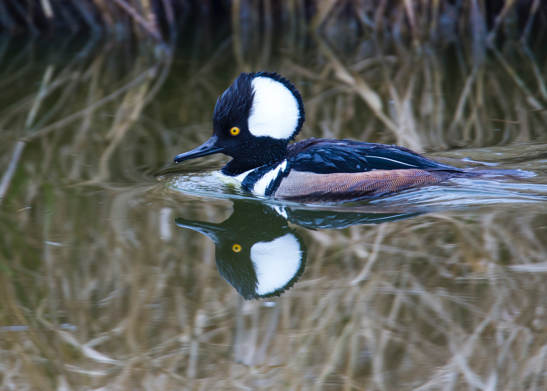 This was a new one for new - there was a mating pair of Hooded Mergansers!