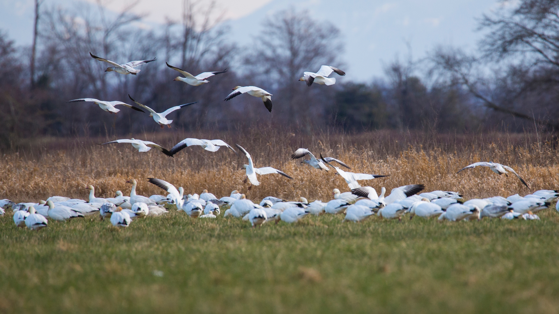 There was a good sized flock of snow geese in the fields close to the entrance.