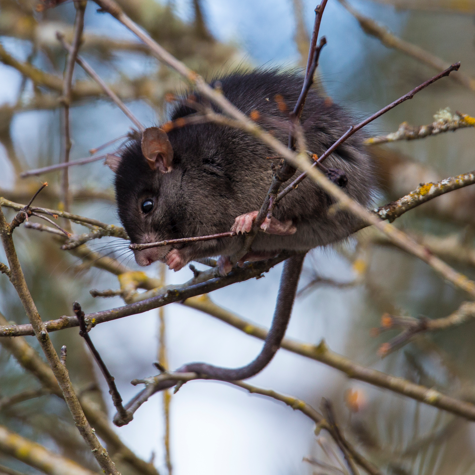 In a tree near the entrance, this rat was up in the branches eating berries.