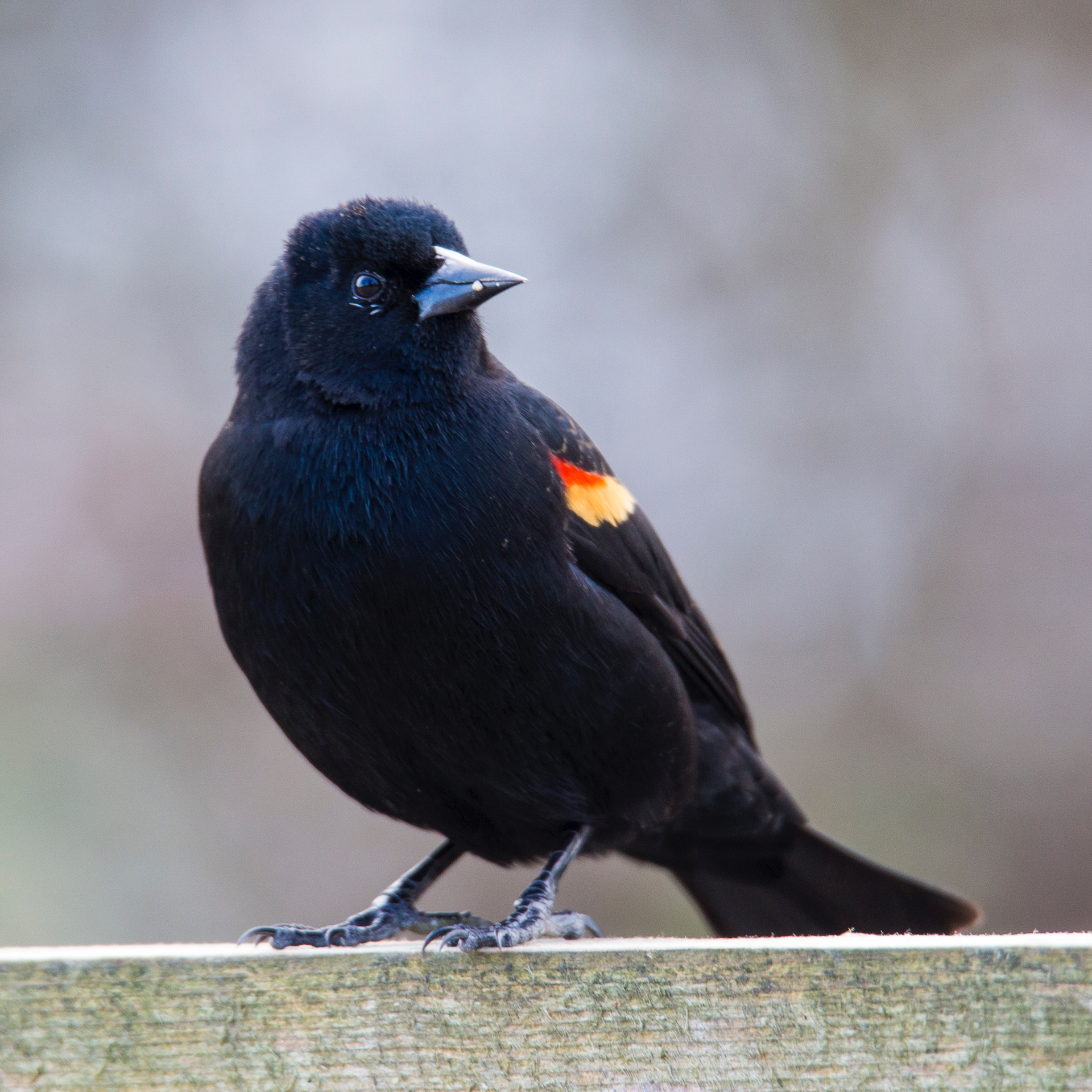 There were lots of red-winged blackbirds around.