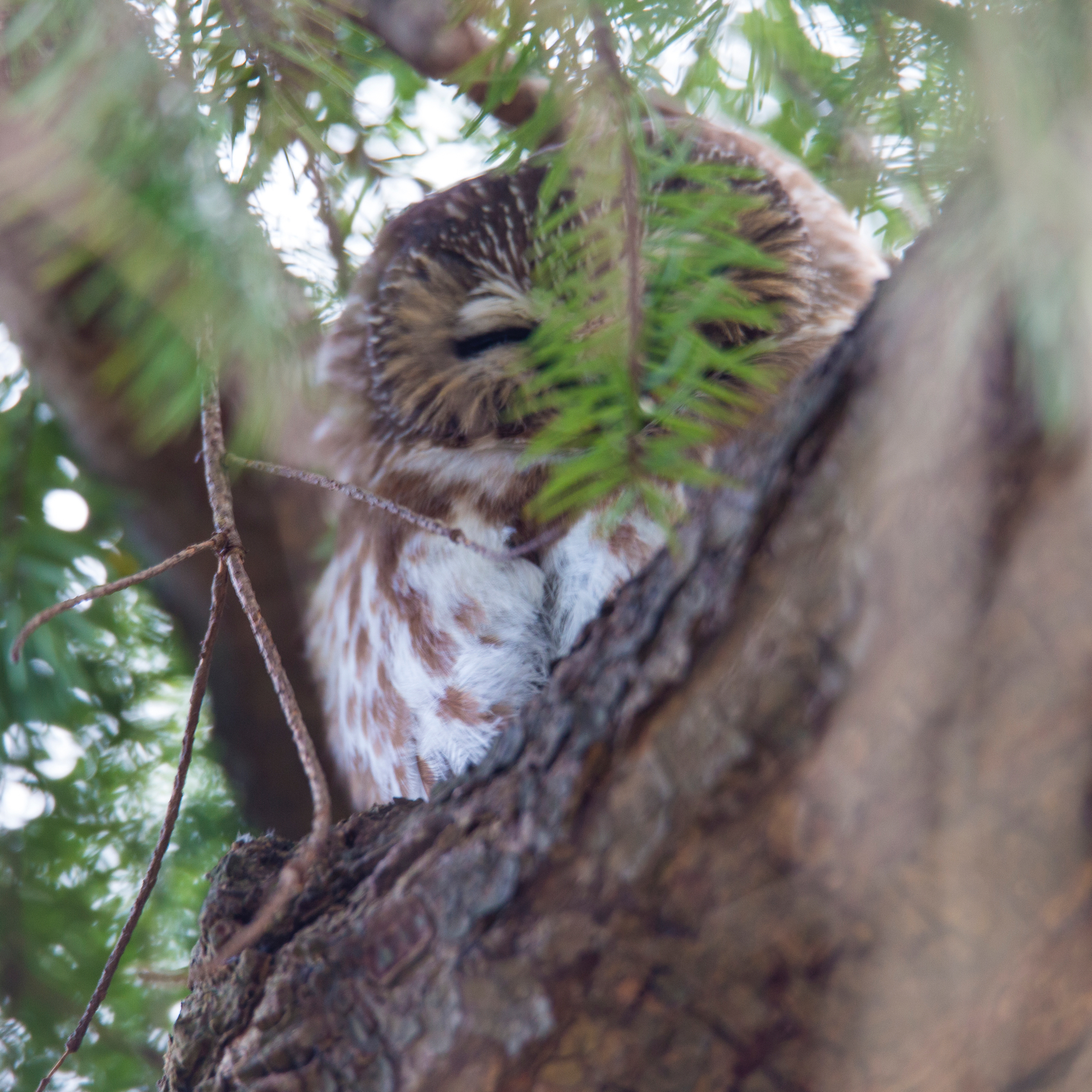 We saw two saw-whet owls! Only one was in a spot where you could get a shot.