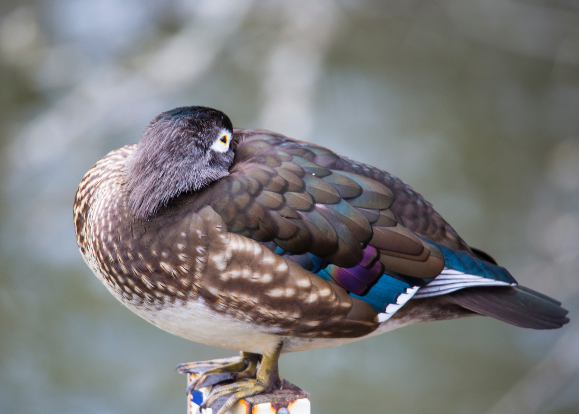 Female wood duck, having a snooze.
