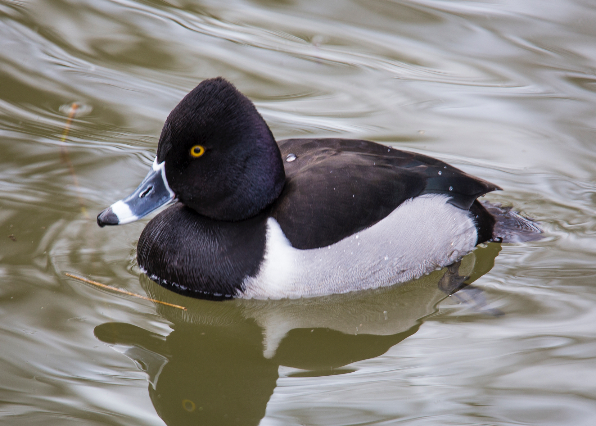 Ring-necked duck.