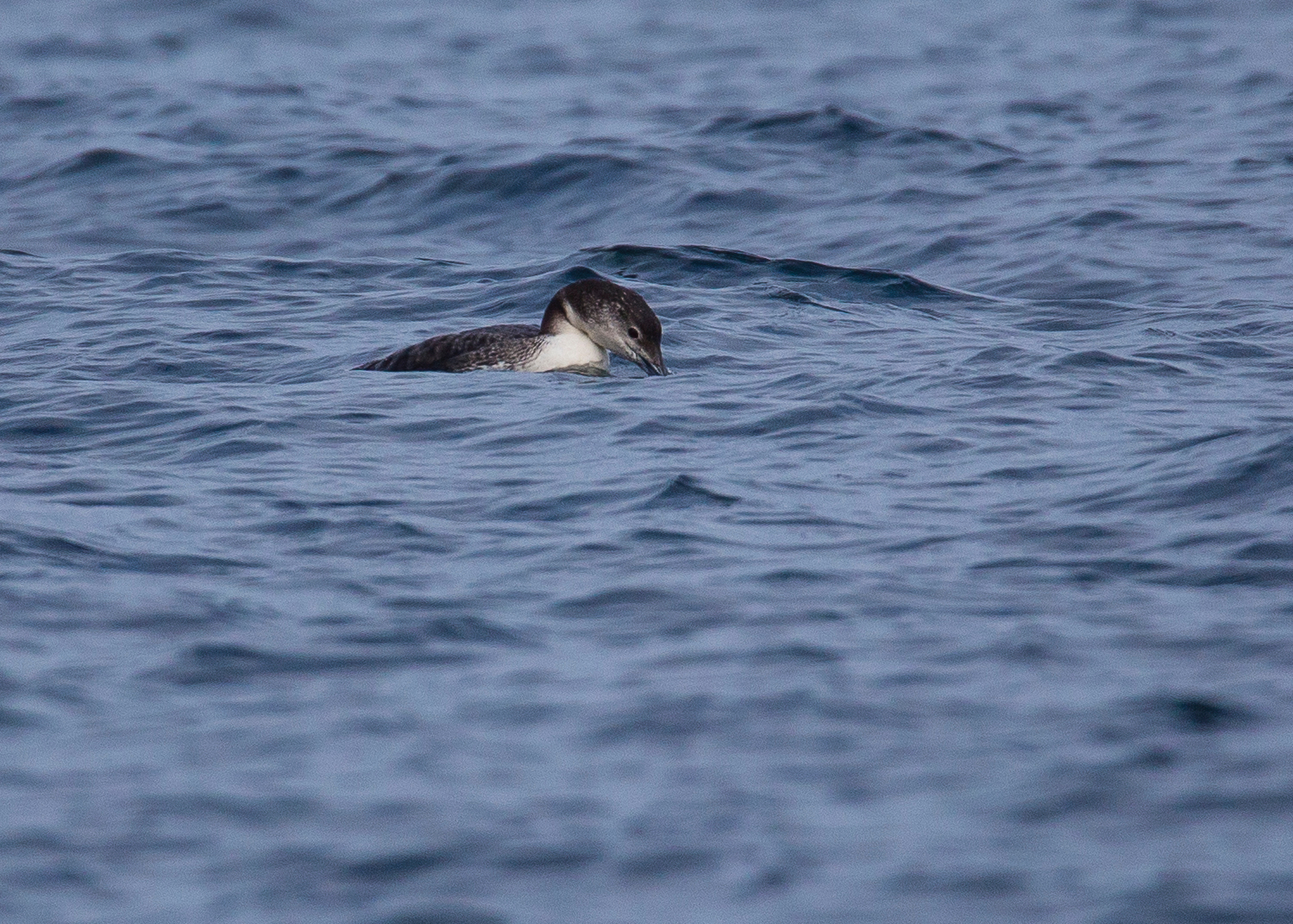 Pacific loon looking for his lunch.