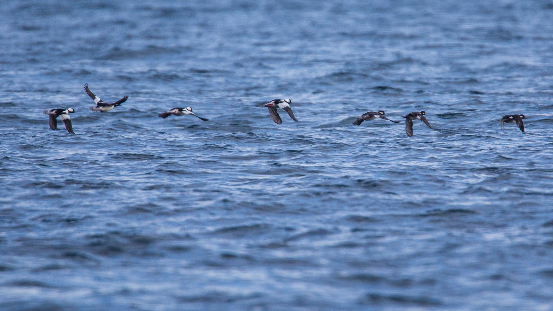 I little flock of buffleheads taking flight.