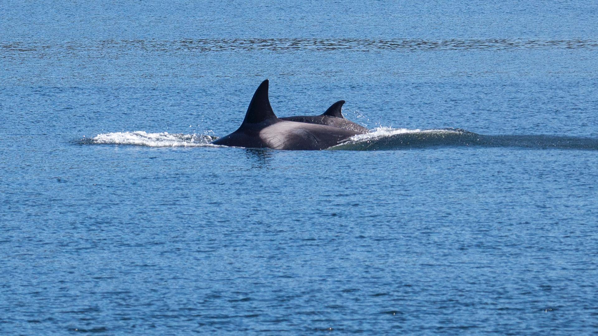 2019 03 Galinao Orcas - 24.jpg