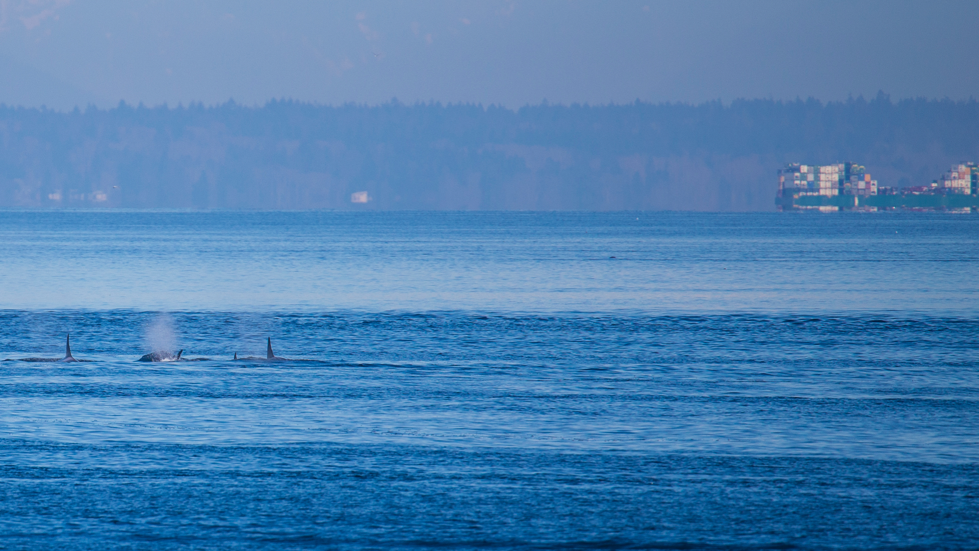 The little pod of orcas heading out into the distance.