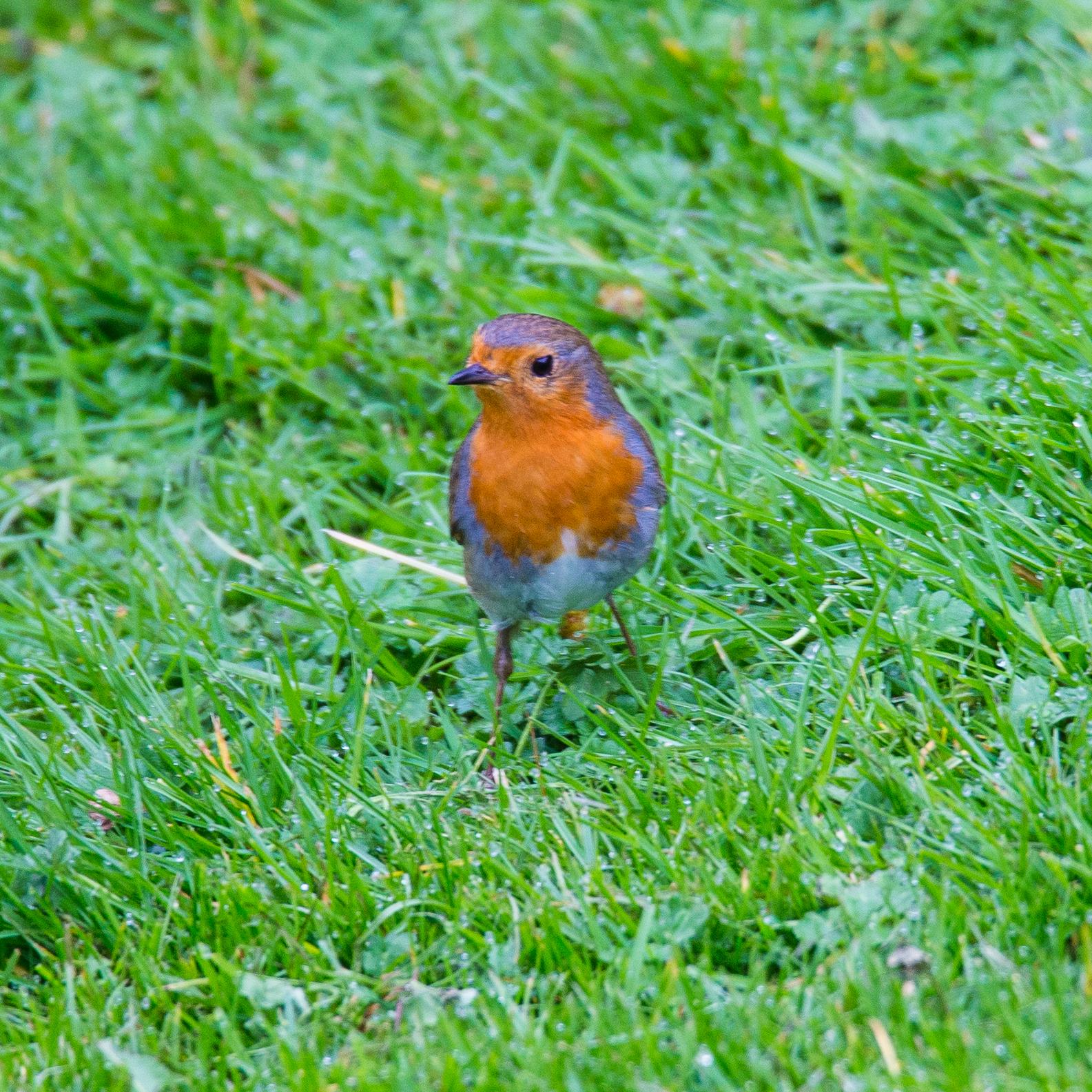 A little robin.