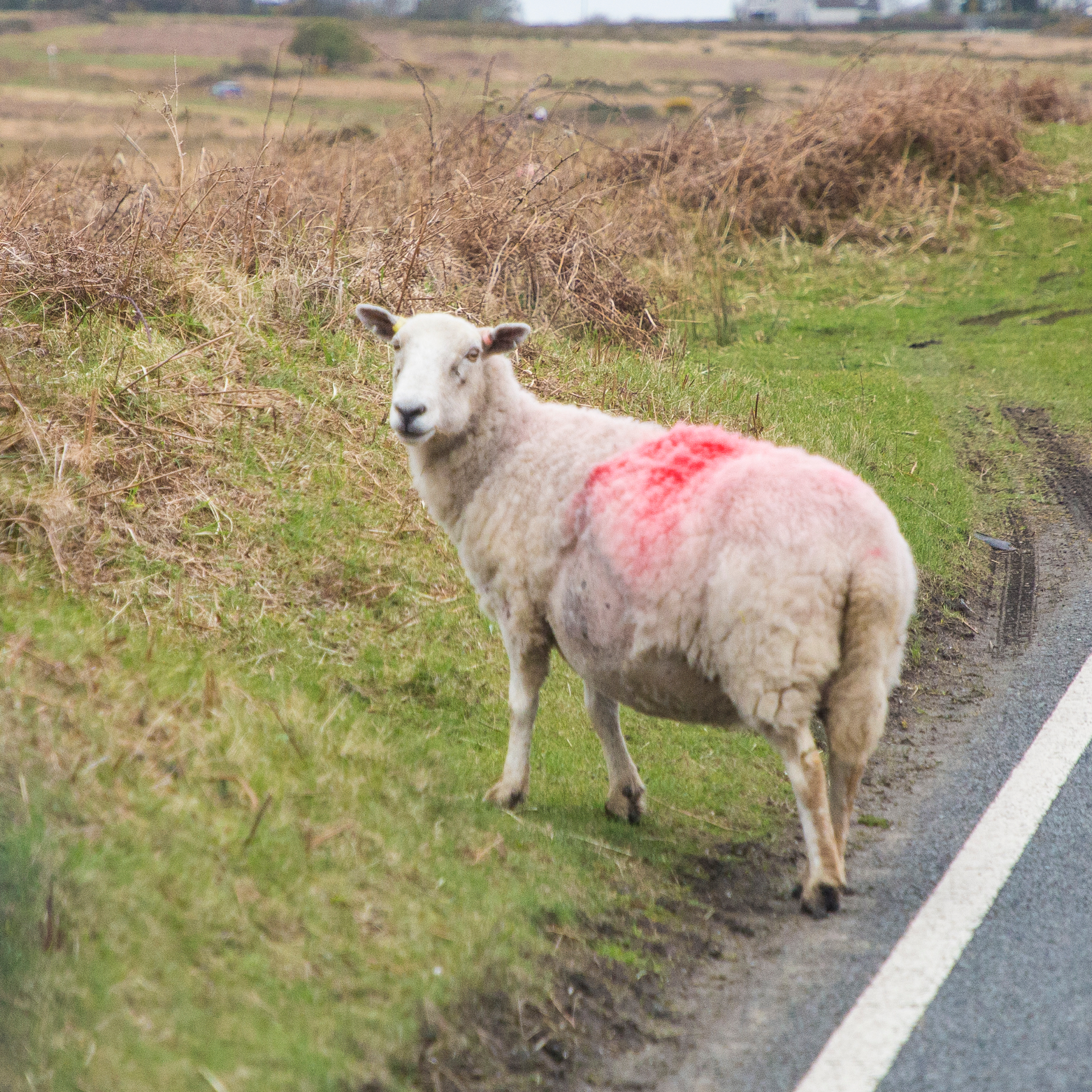 There's no getting away from the sheep!