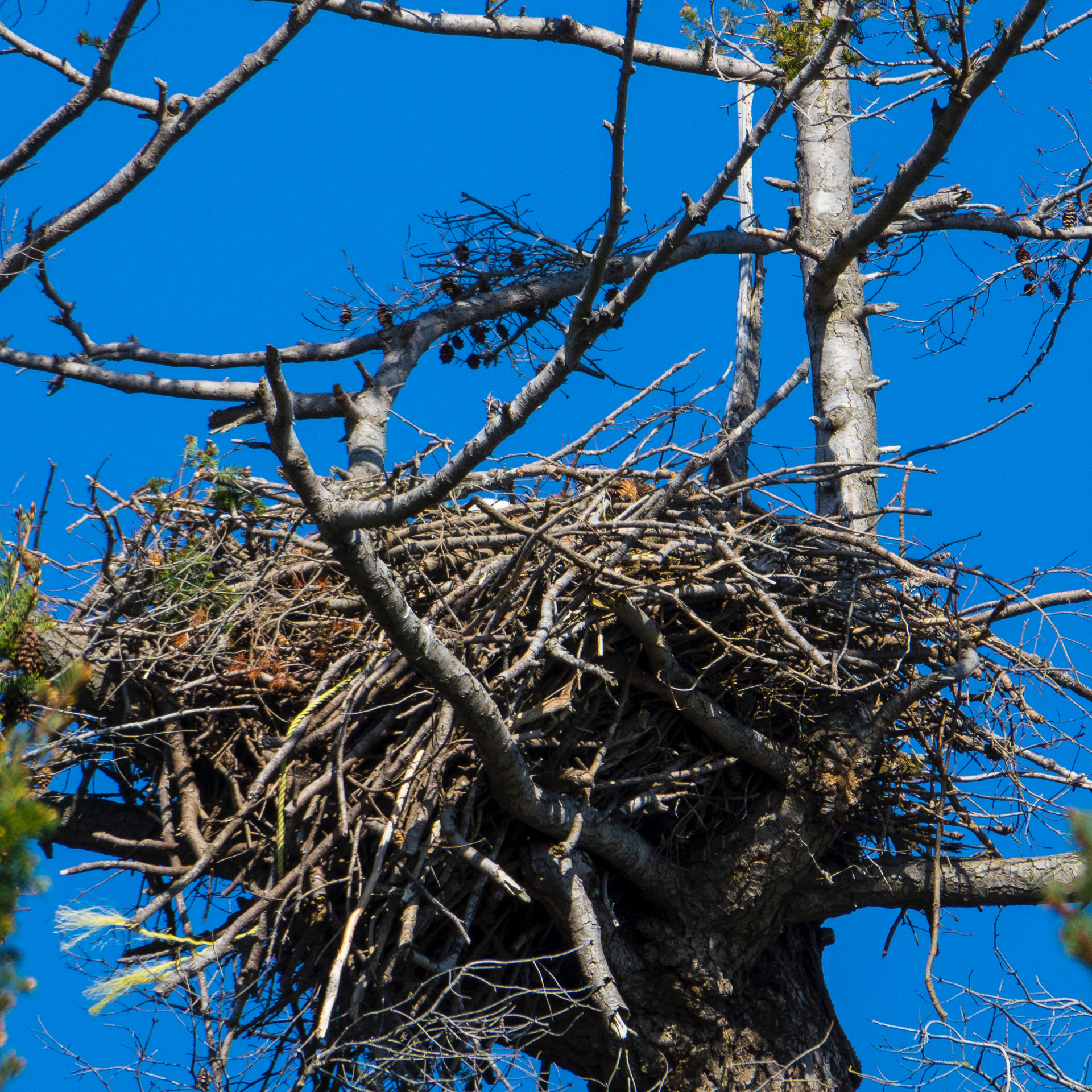 The eagle nest had someone sitting in it…