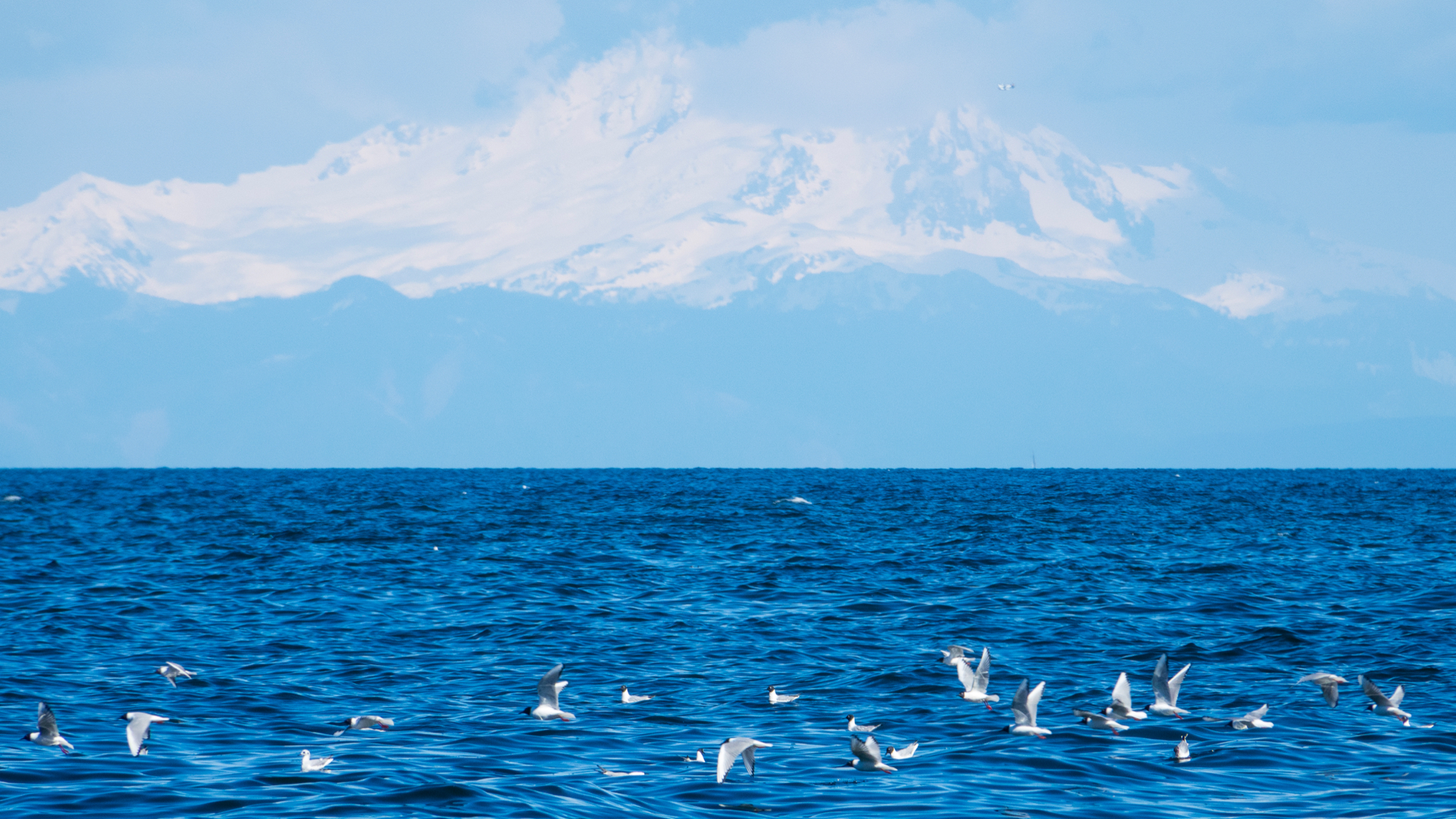 Bonaparte Gulls with Mount Baker in the background.