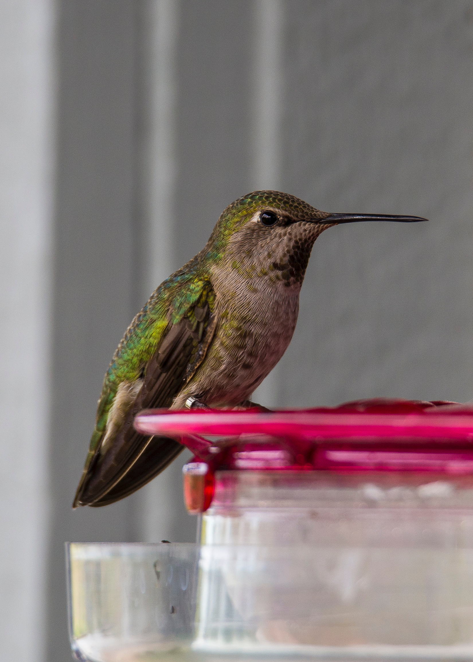 An Anna's hummingbird at the feeder near the entrance.We saw both types of hummingbirds that we get regularly over the course of our visit.