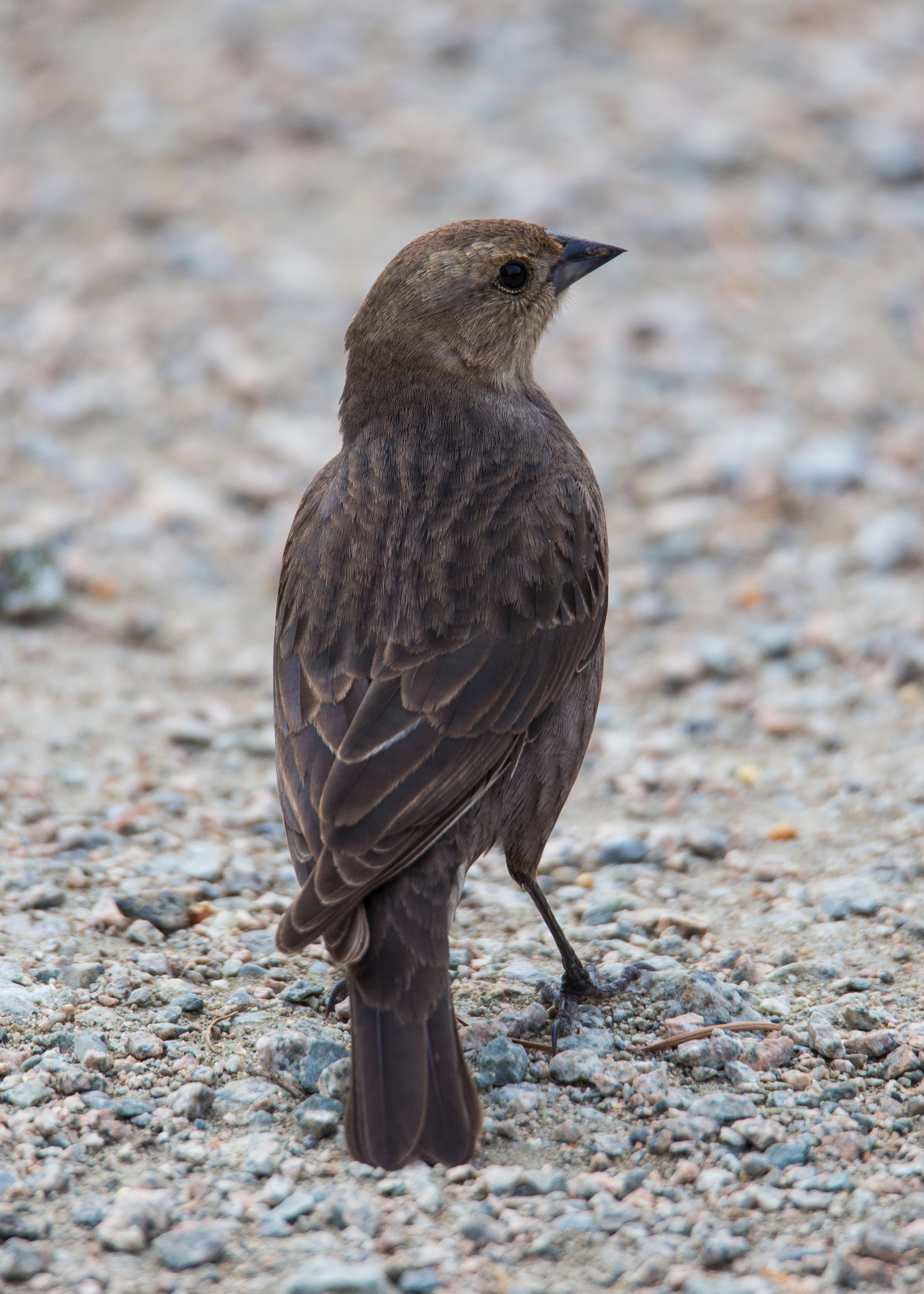 A female brown-headed cowbird…