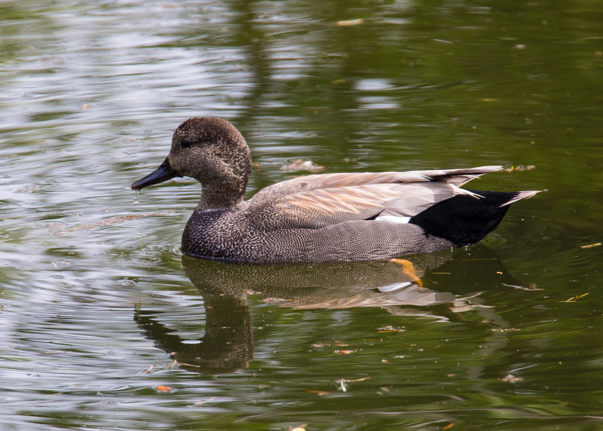 "Another of our ""new"" birds for this year, there were a pair of gadwalls on one of the ponds. I think they are a bit late in heading north. Or maybe smart, given how cold it's been."