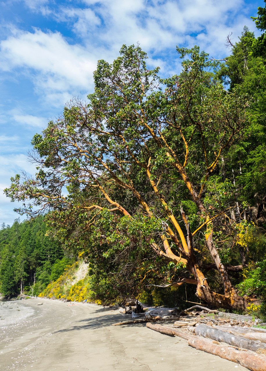 There was a huge arbutus tree on the beach.