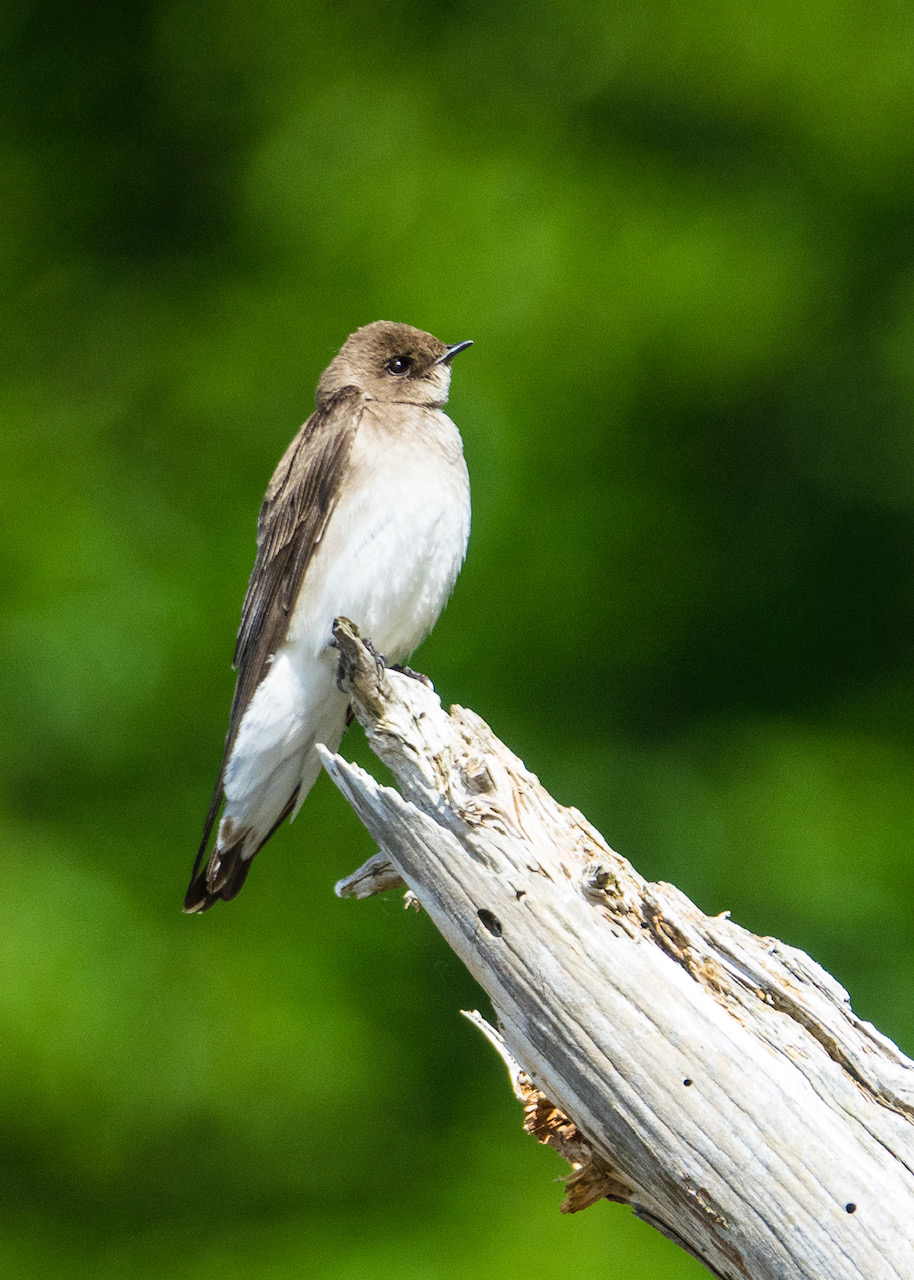 We also saw a new species of swallow - I think it's a bank swallow.
