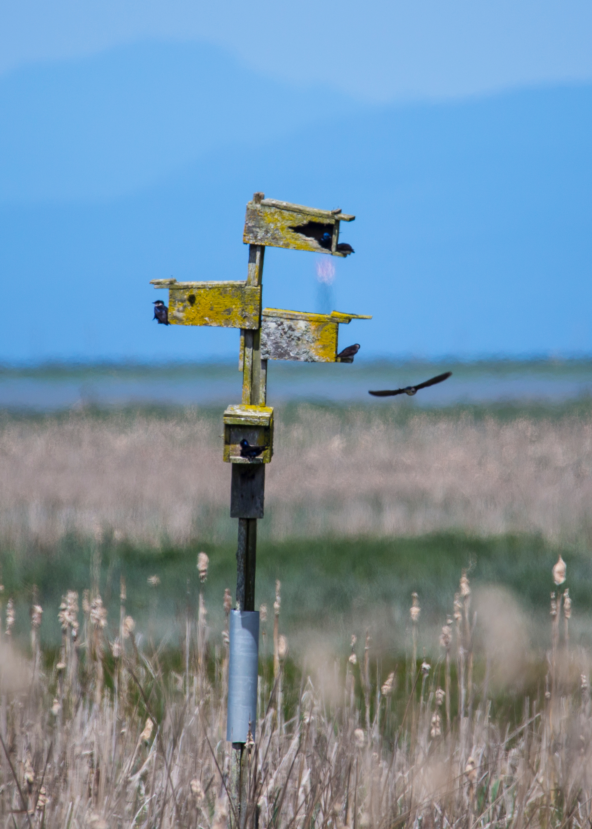 The purple martin nest way out in the marsh was very active.