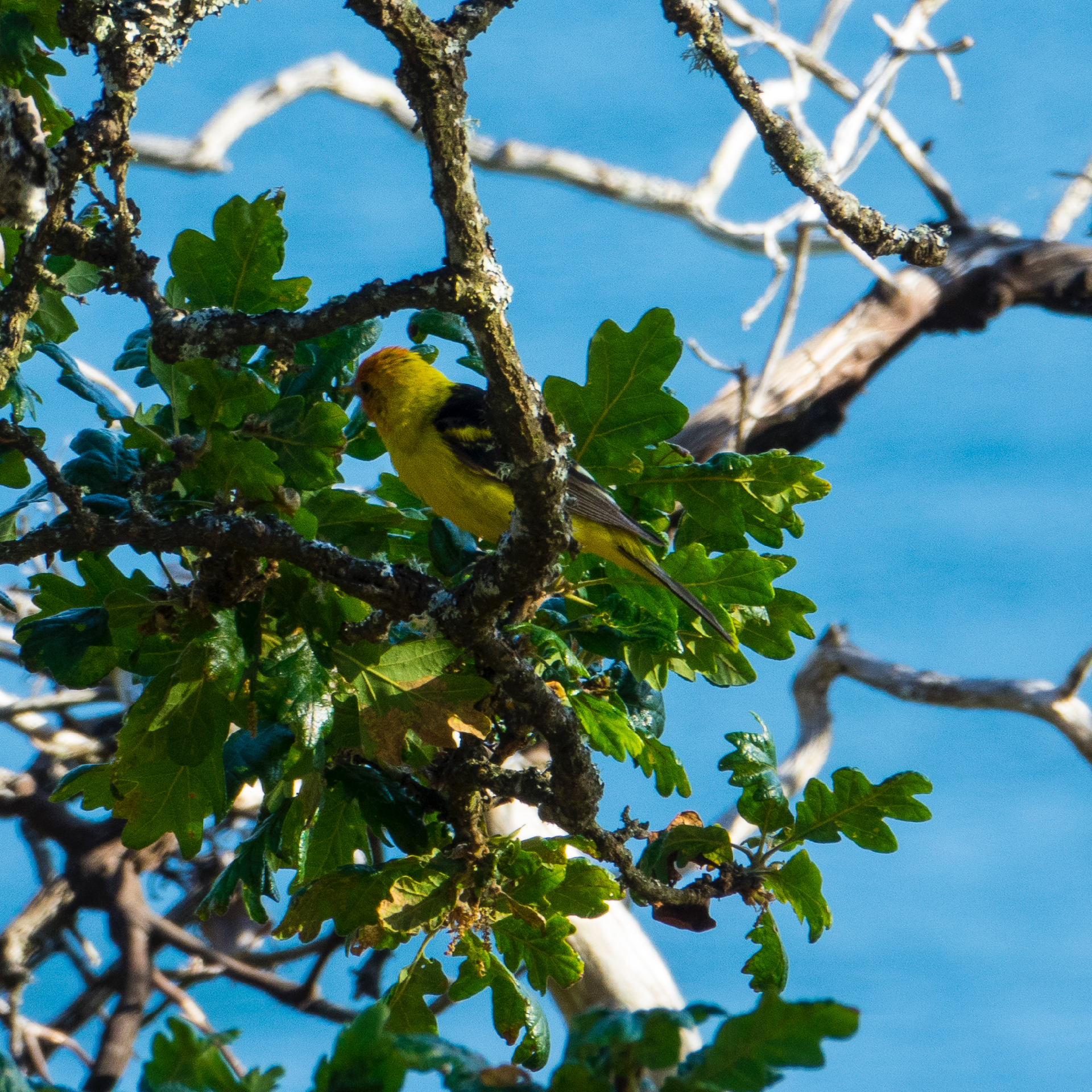 As we were sitting on the deck Friday evening, we saw a Western Tanager - another new species!