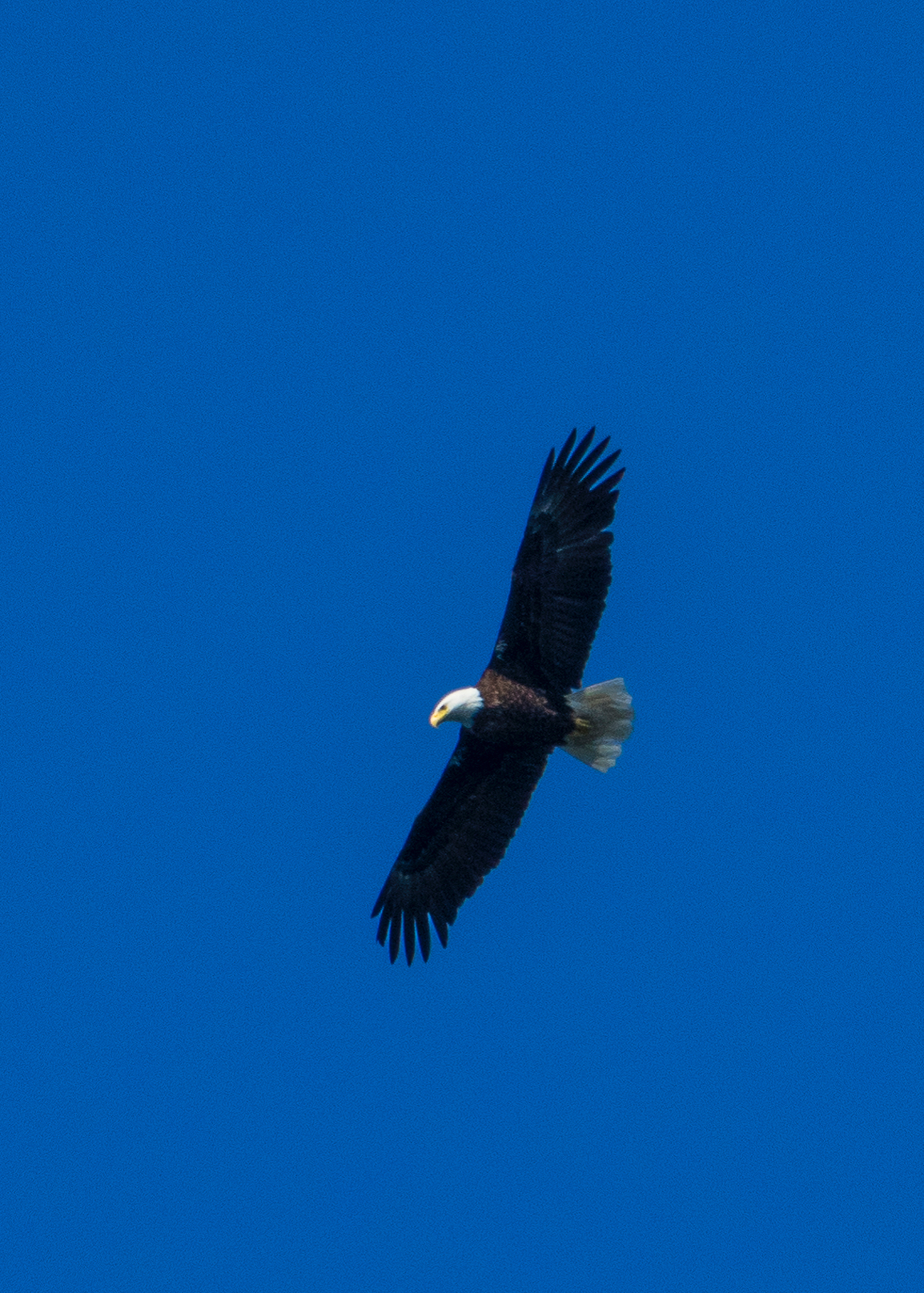 There were lots of bald eagles soaring about over the weekend.