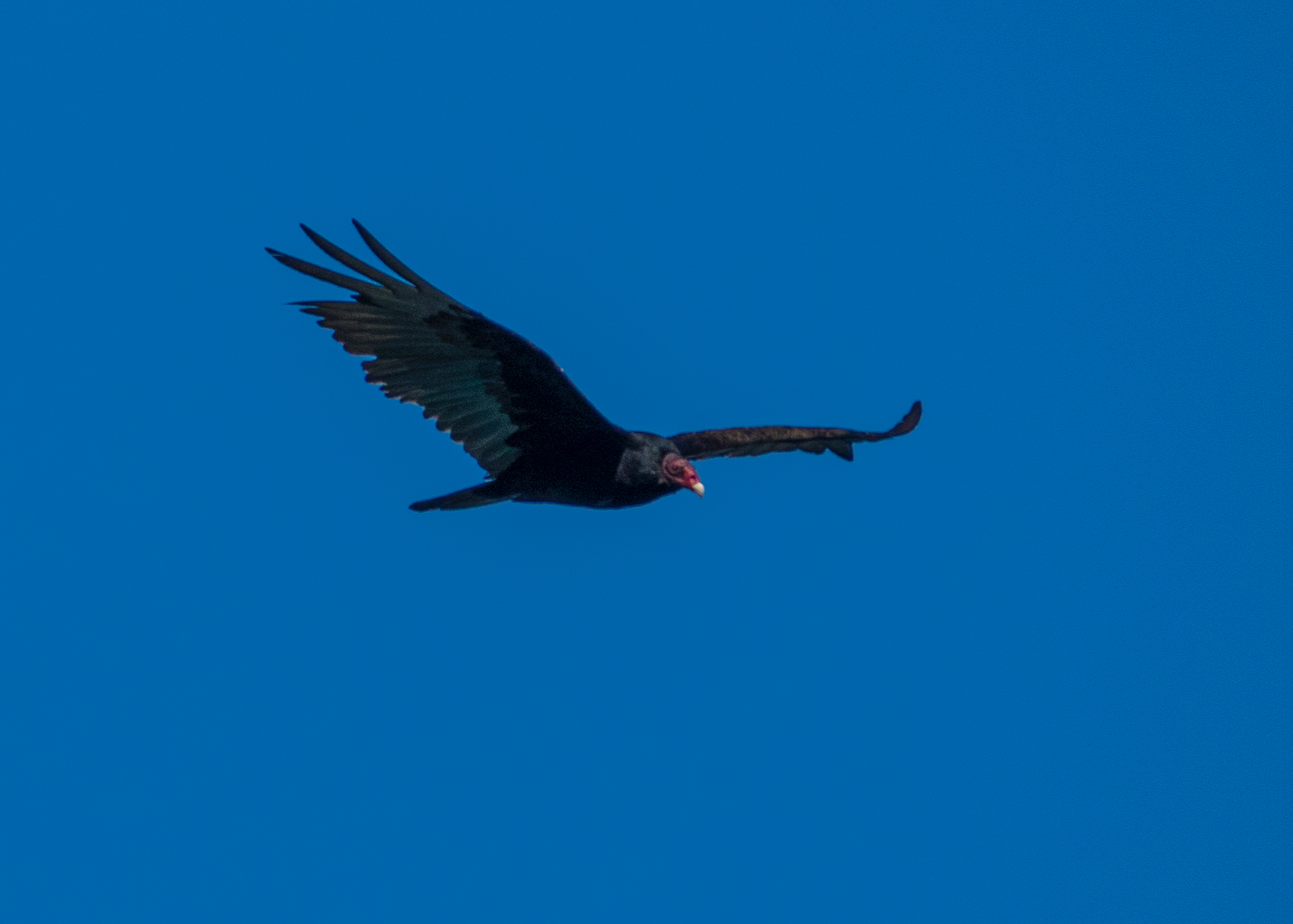 And the turkey vultures were quite plentiful as well.