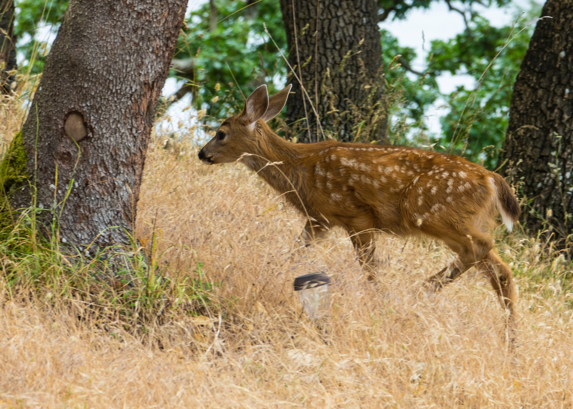 One of the little fawns we saw frequently over the weekend.