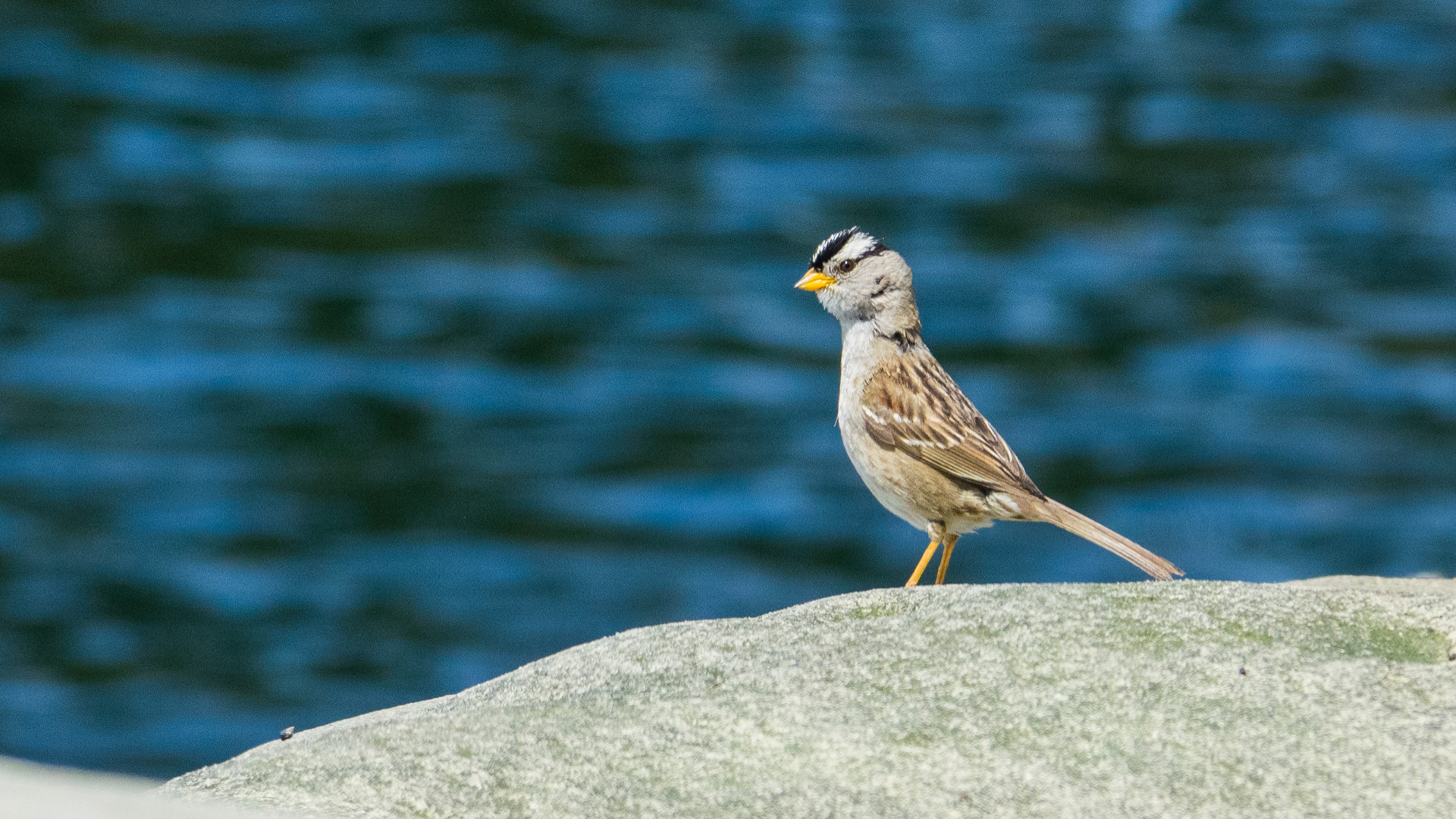 We had a little white-crowned sparrow come check out what was going on.