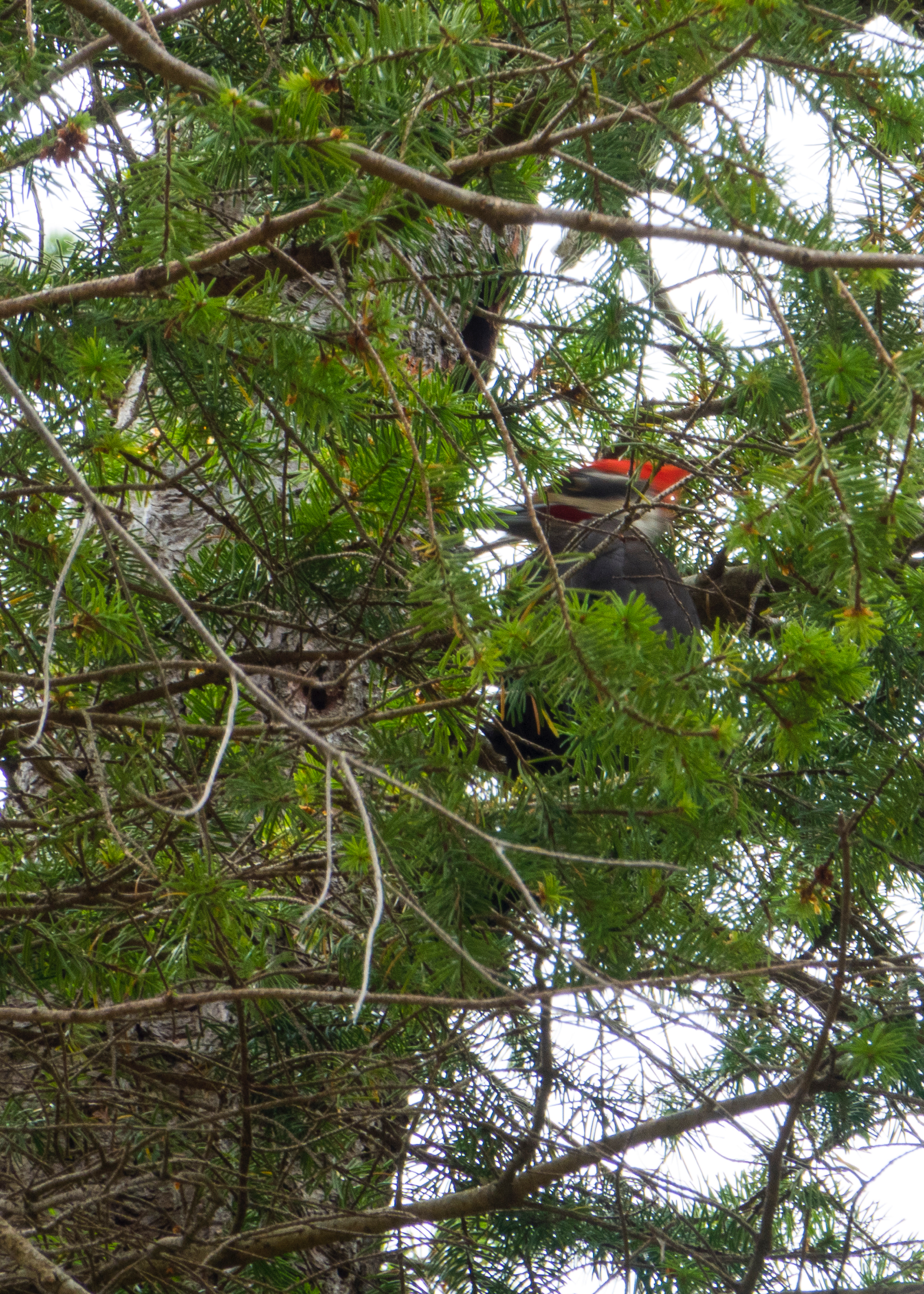 Our unique find this time was a pileated woodpecker.