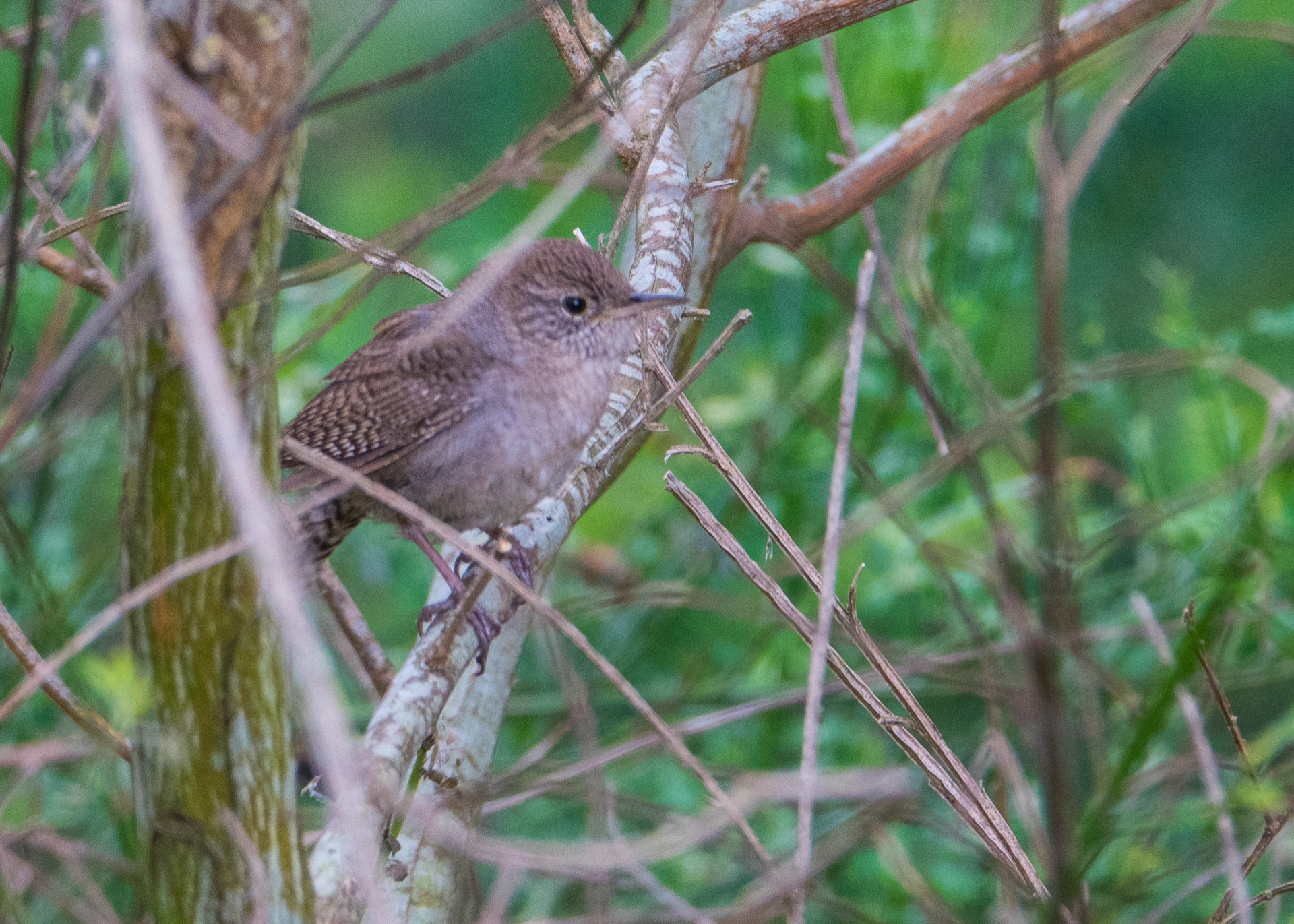 As we were leaving, a pacific wren started chirping - so much noise from such a small bird!