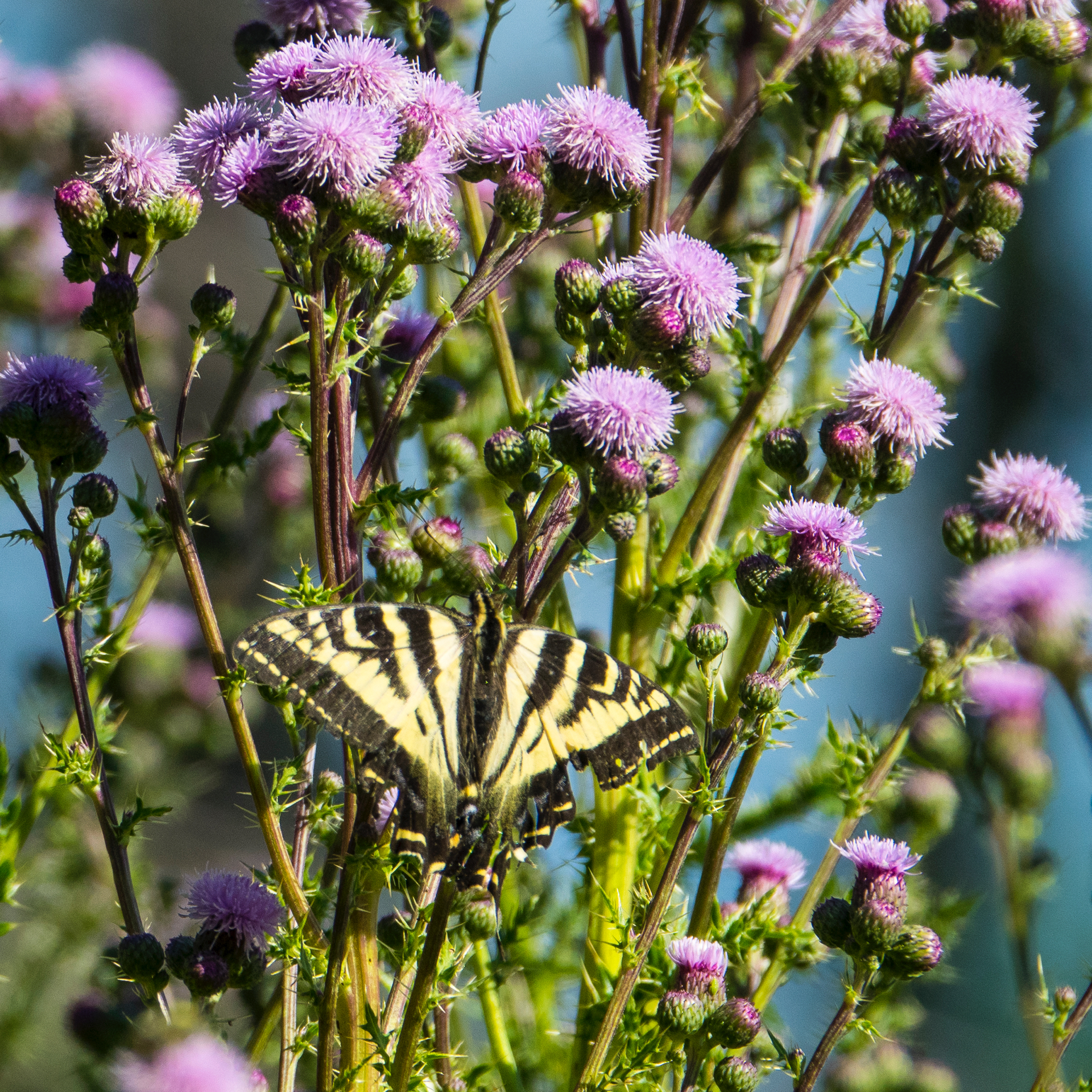 While the thistles are an infestation that prevents us from using much of the property, the bees, butterflies and birds seem to really like them.