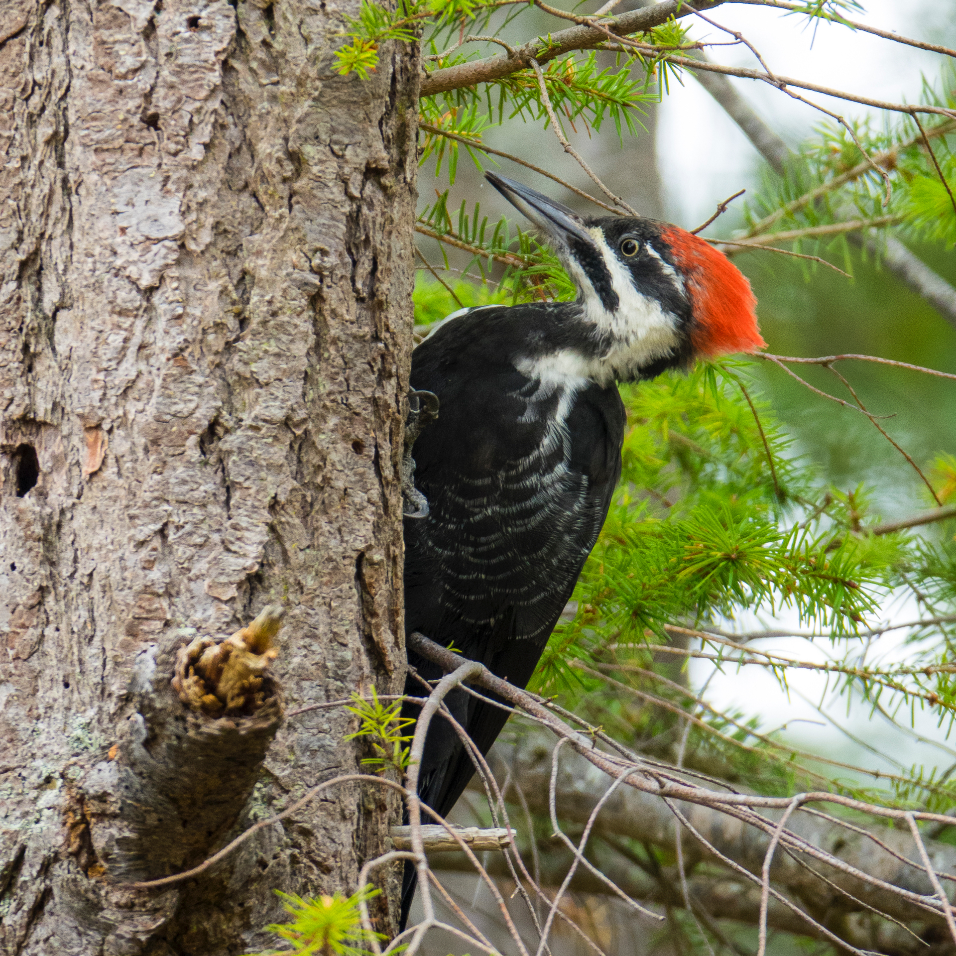 A female Pileated Woodpecker that was putting on a show at Bellhouse Park.