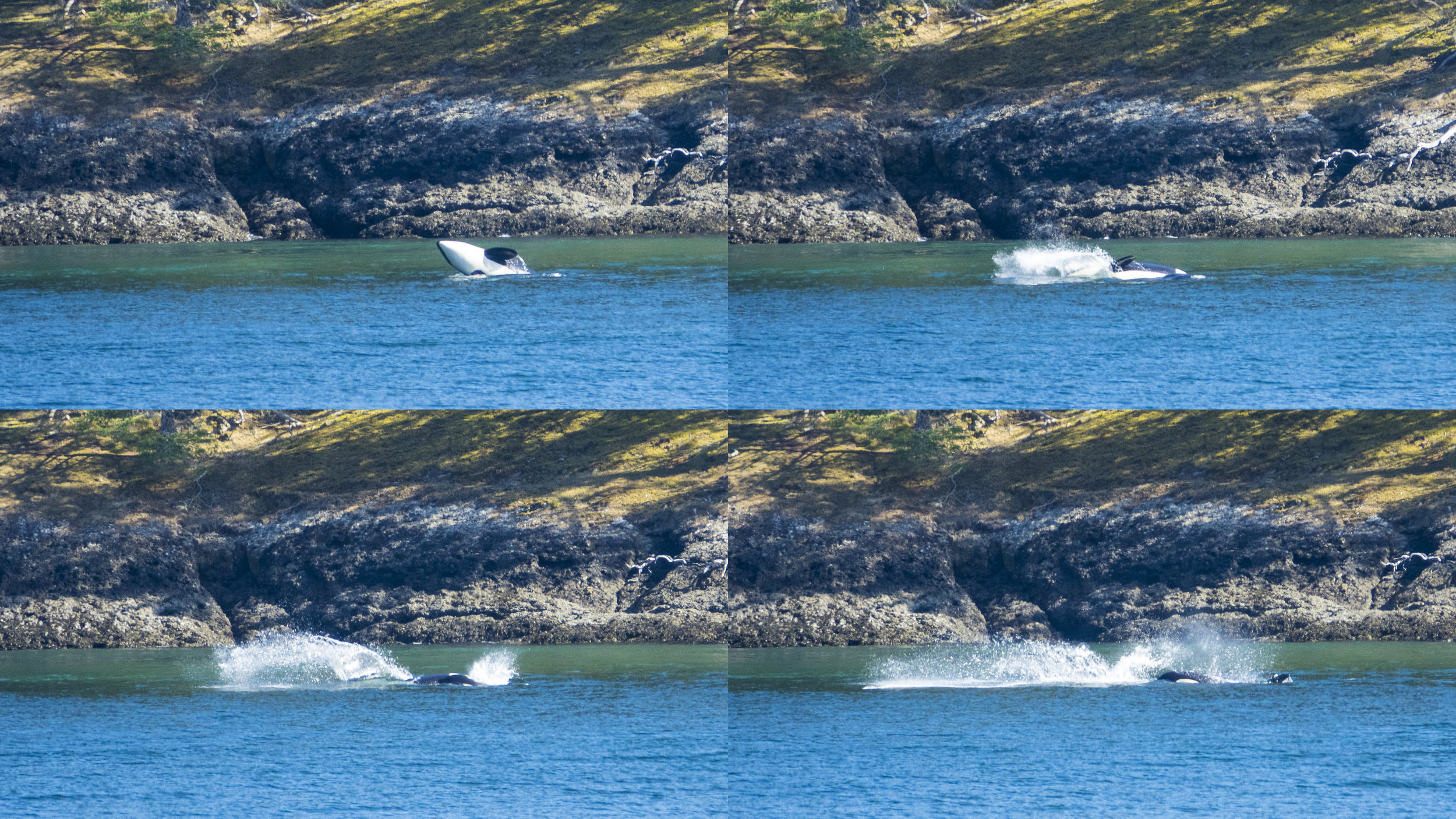 I put together this composite of a set of four successive pics - whales at play!