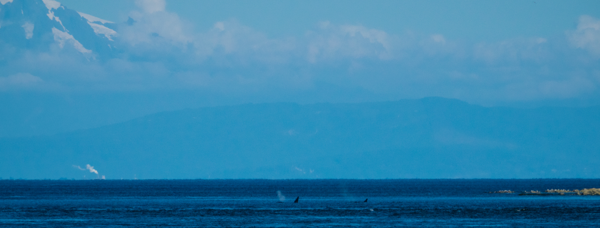 We even had one last fleeting glimpse of J-Pod from the dock as they headed out and around Mayne Island.