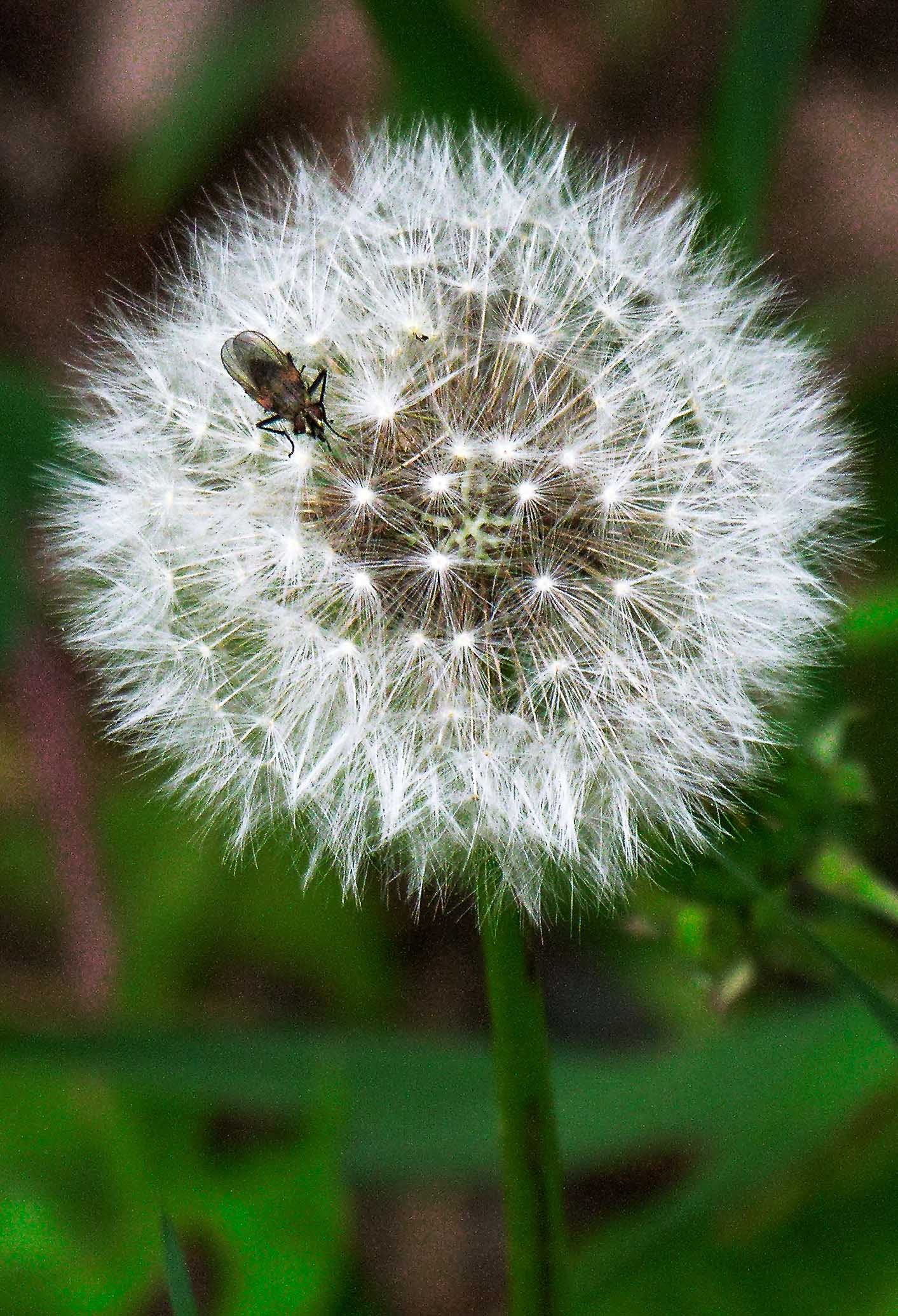 Dandelion with Visitor