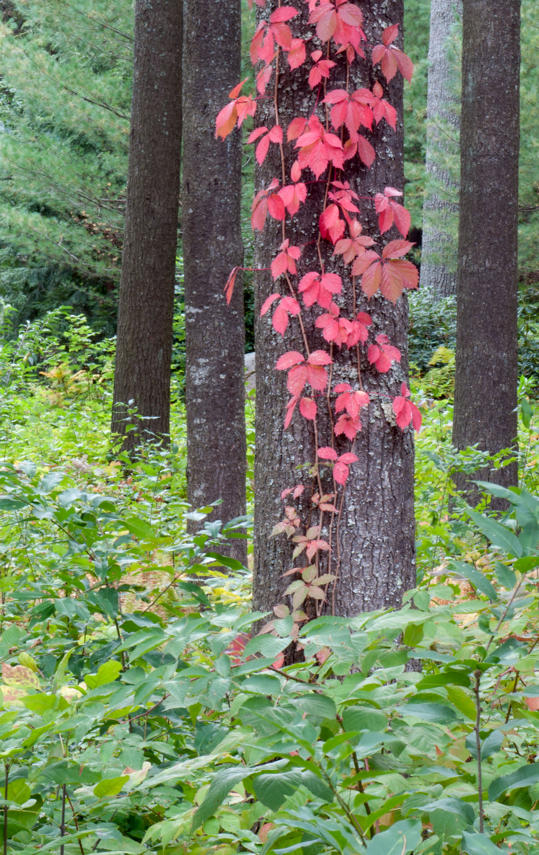 Red Ivy in Fall