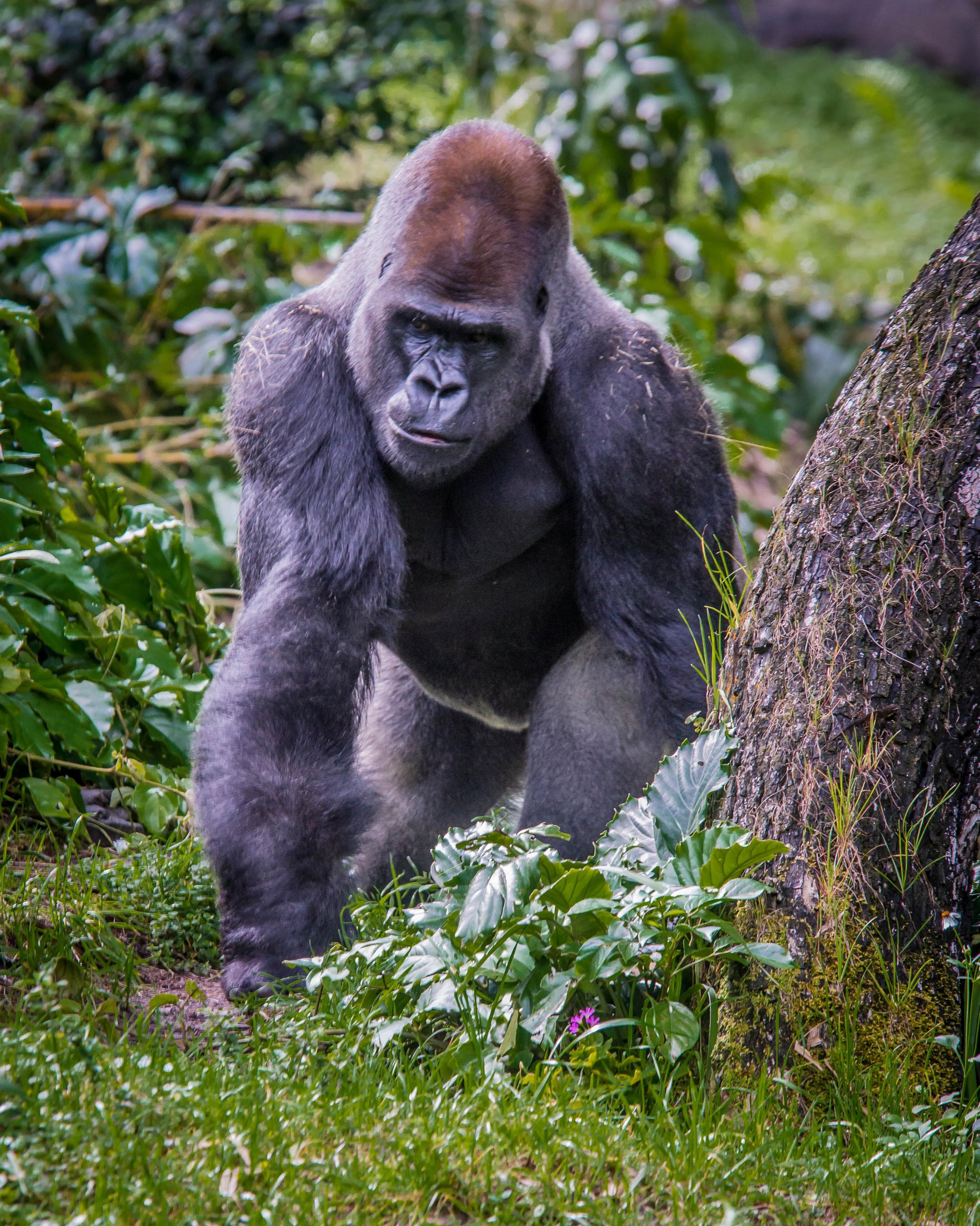 Gorilla on Guard
