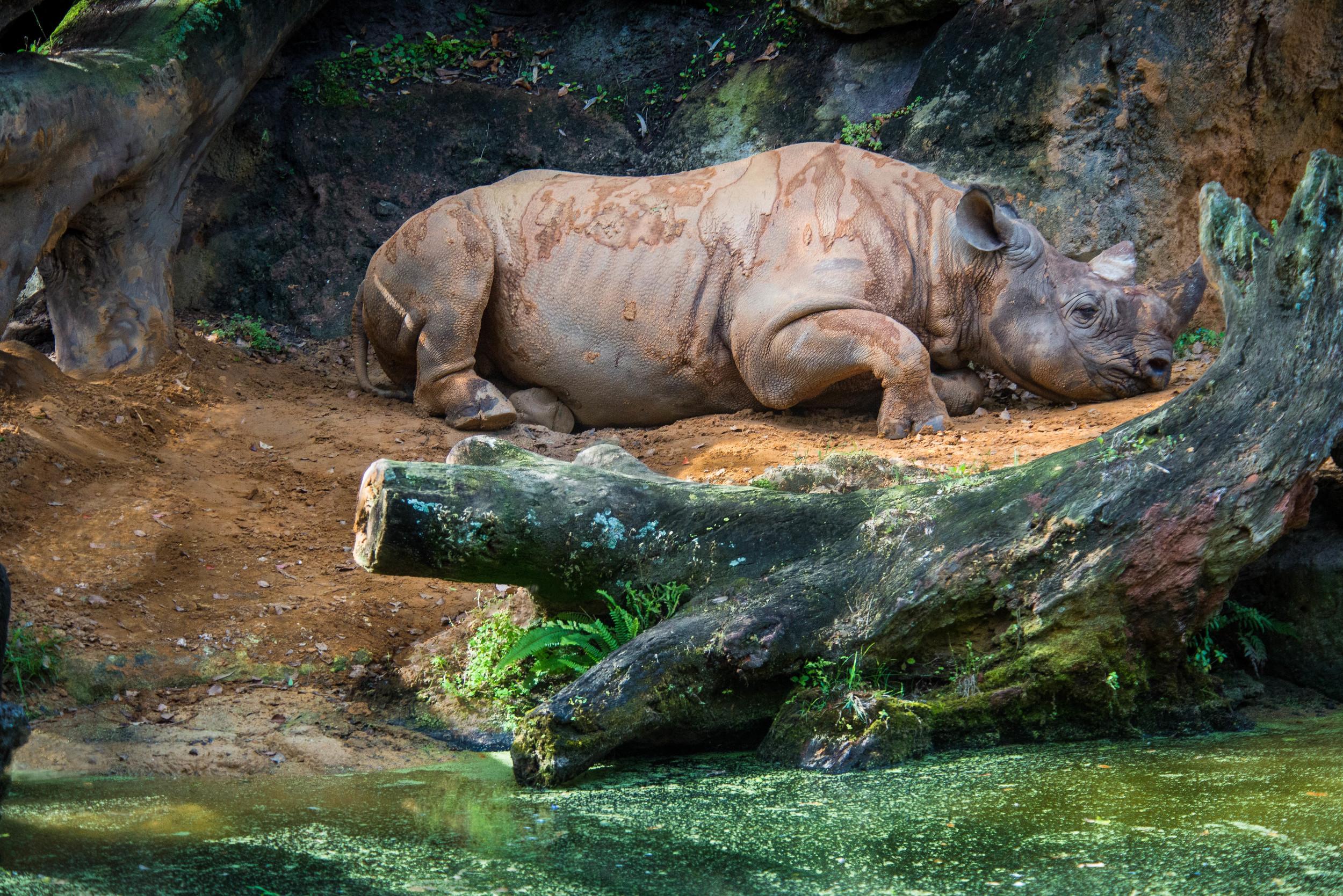 Rhino at Rest
